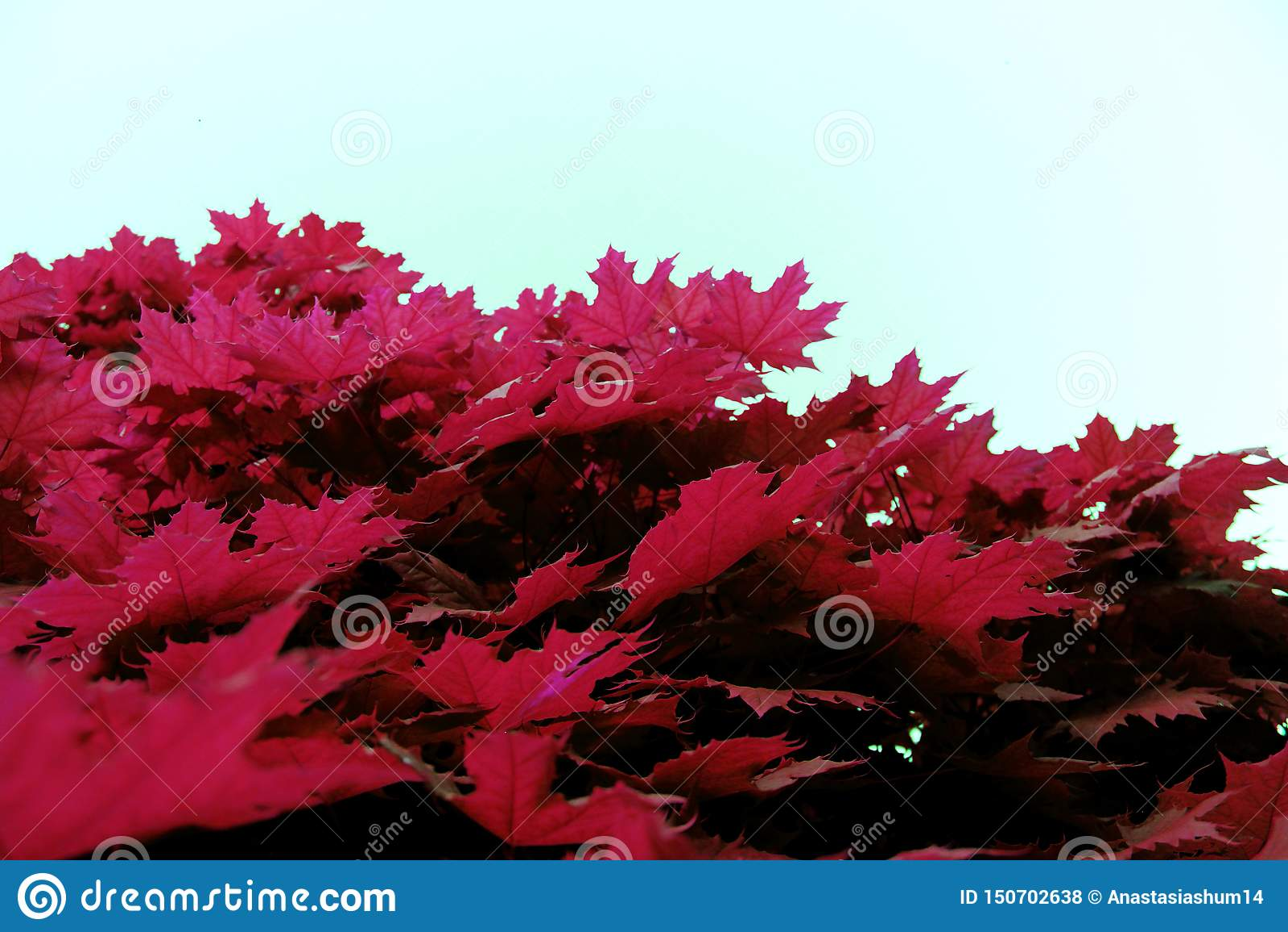 Liść klonowy czerwieni menchii jednakowa tekstura zamknięta w górę natury