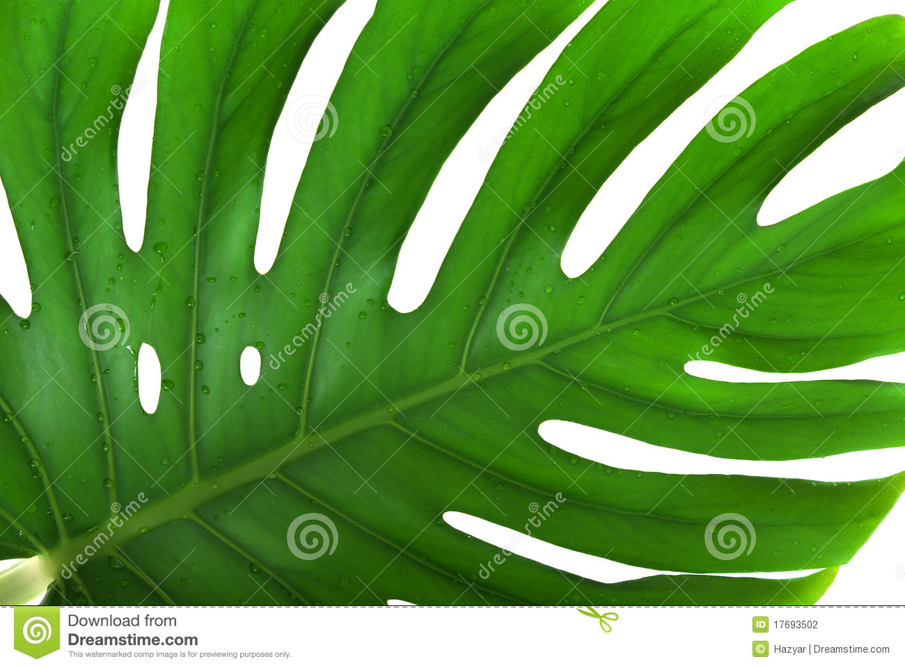 Liść monstera