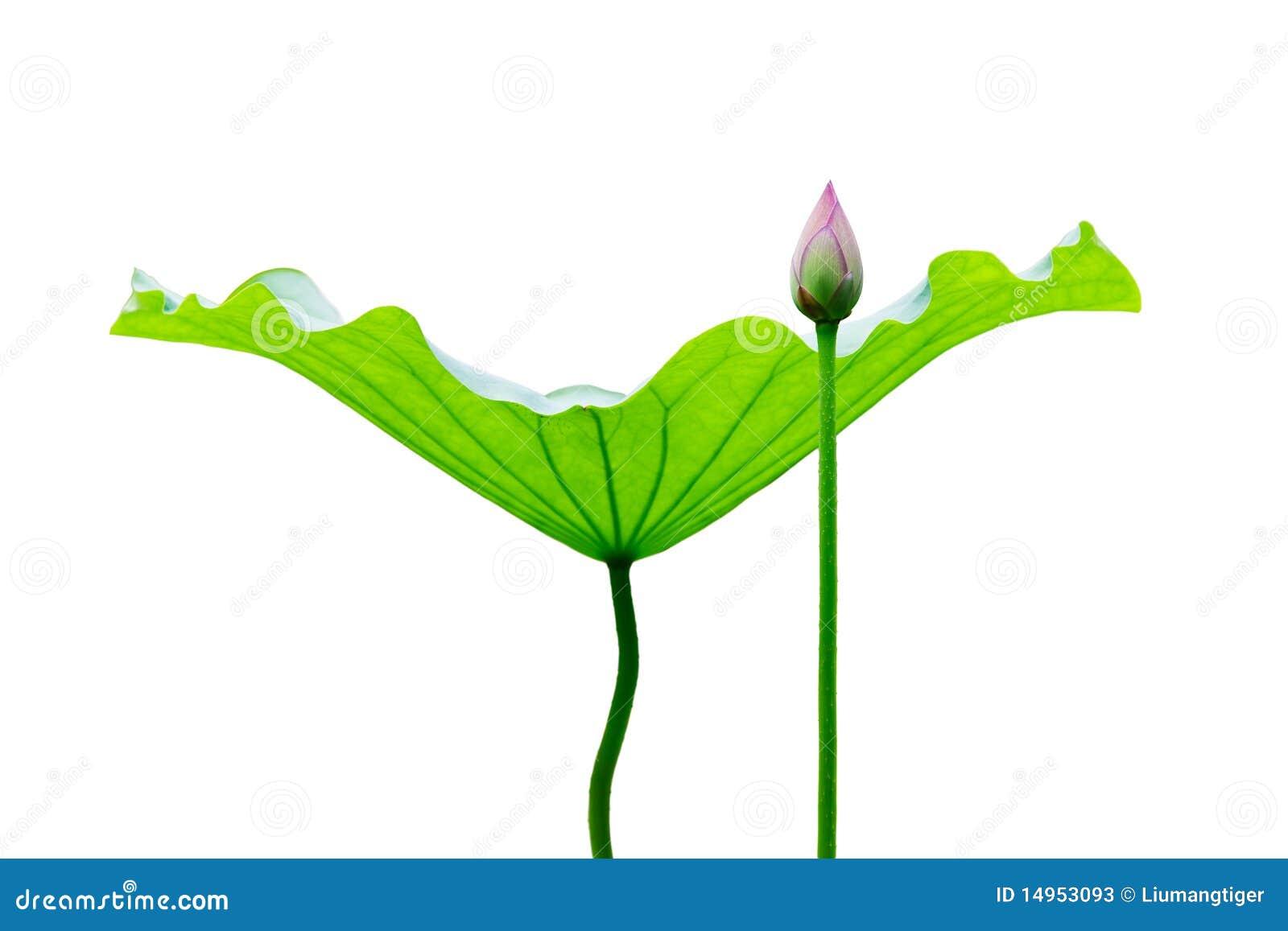 Liść pączkowy lotos