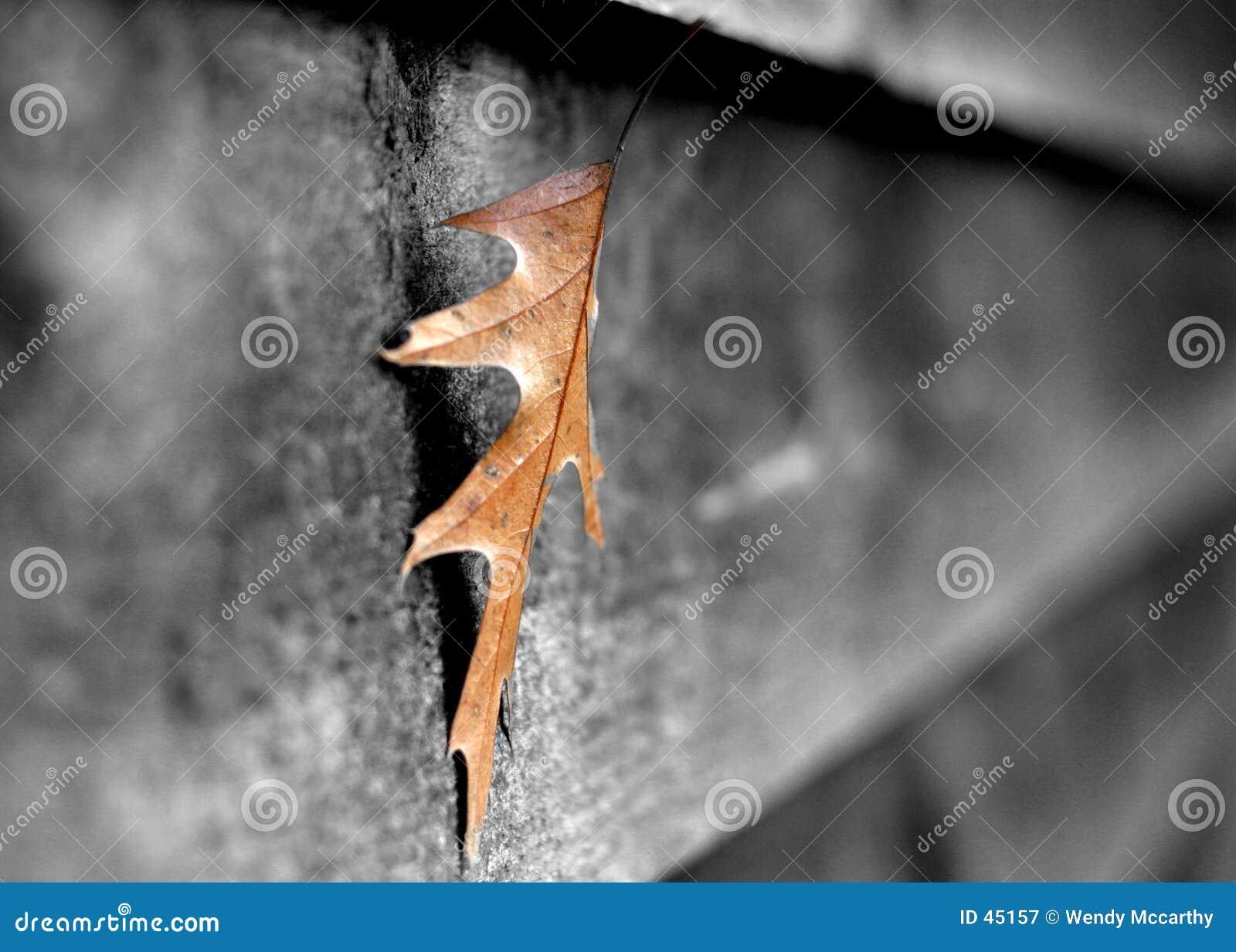 Liść szopa
