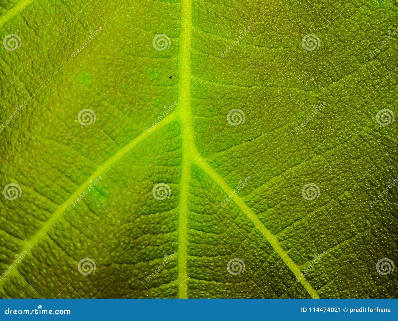 Liść tekstury zielonego koloru ściany tło