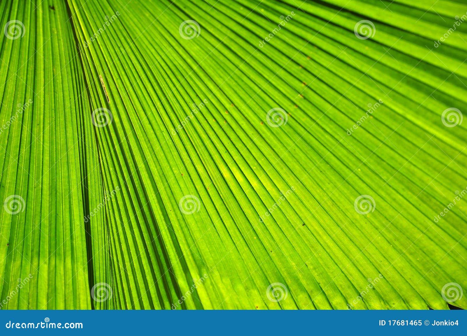 Liść zielona palma