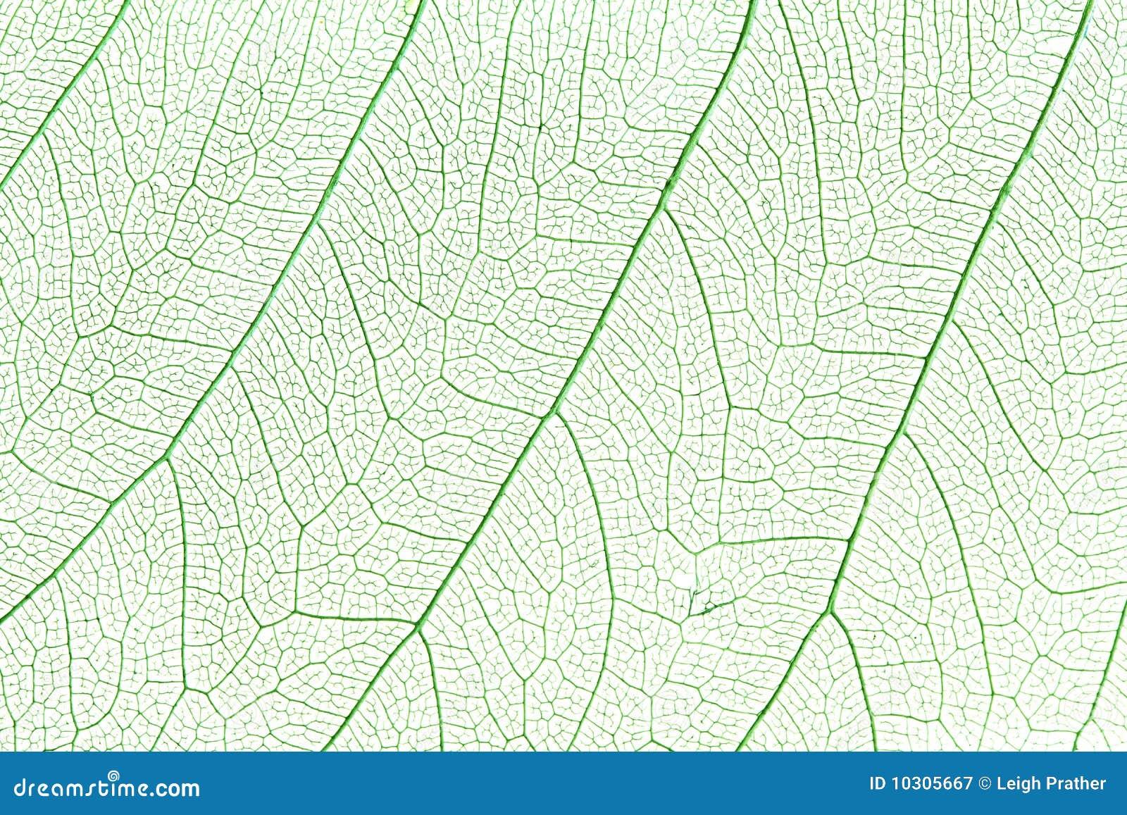 Liść zielony kościec