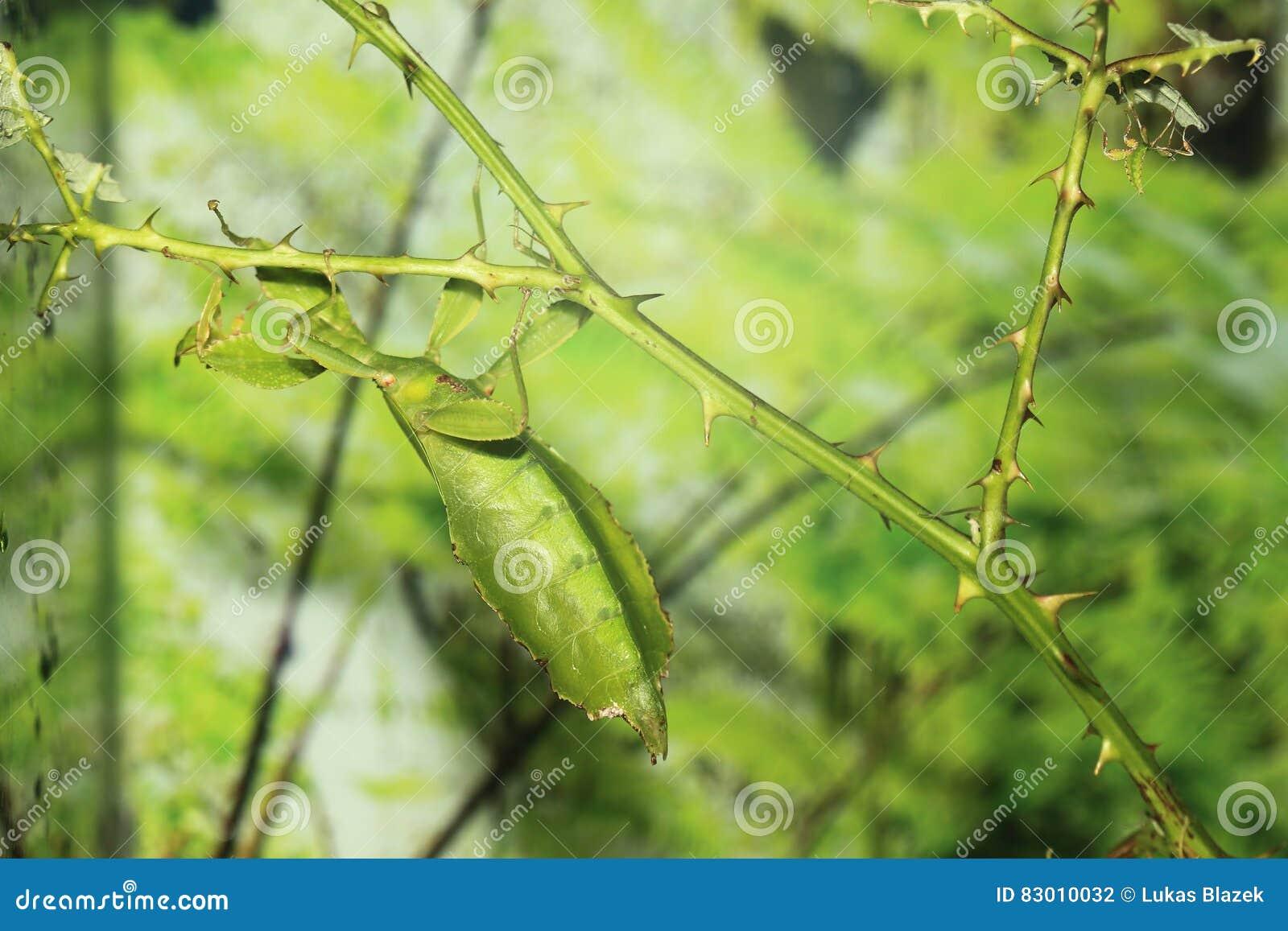 Liścia insekt