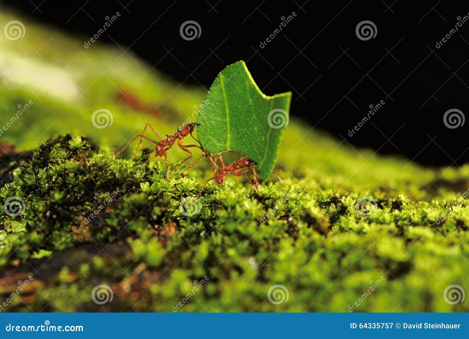 Liścia krajacza mrówki Niosą liść