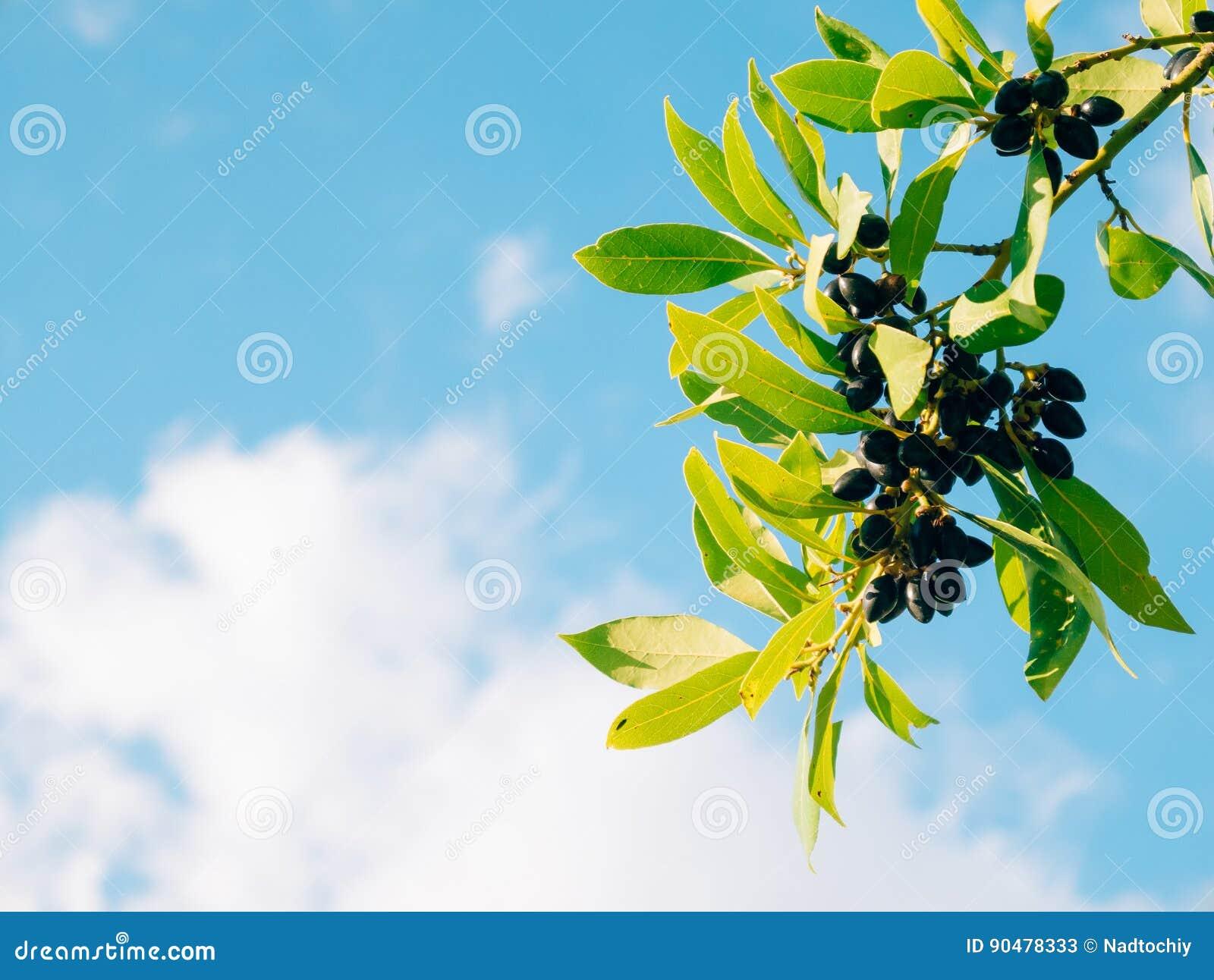 Liście bobek i jagody na drzewie Laurowy liść w dzikim
