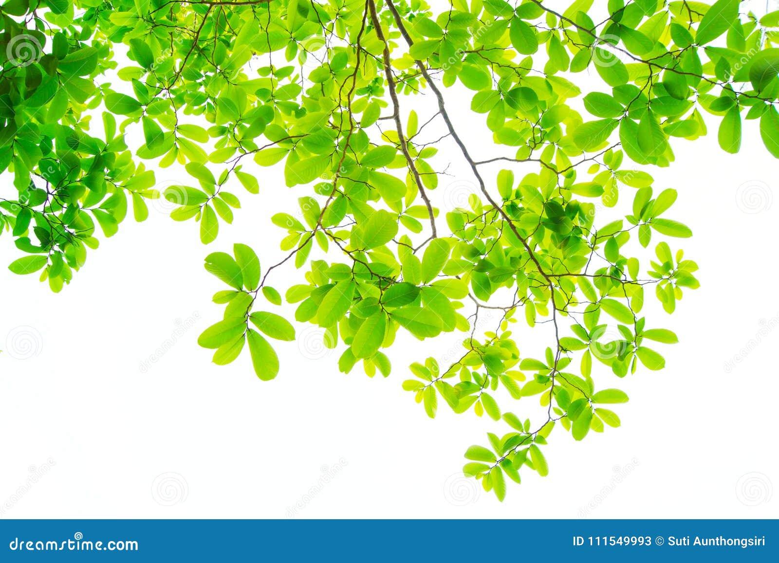 Liście i są zieleni na białym tle