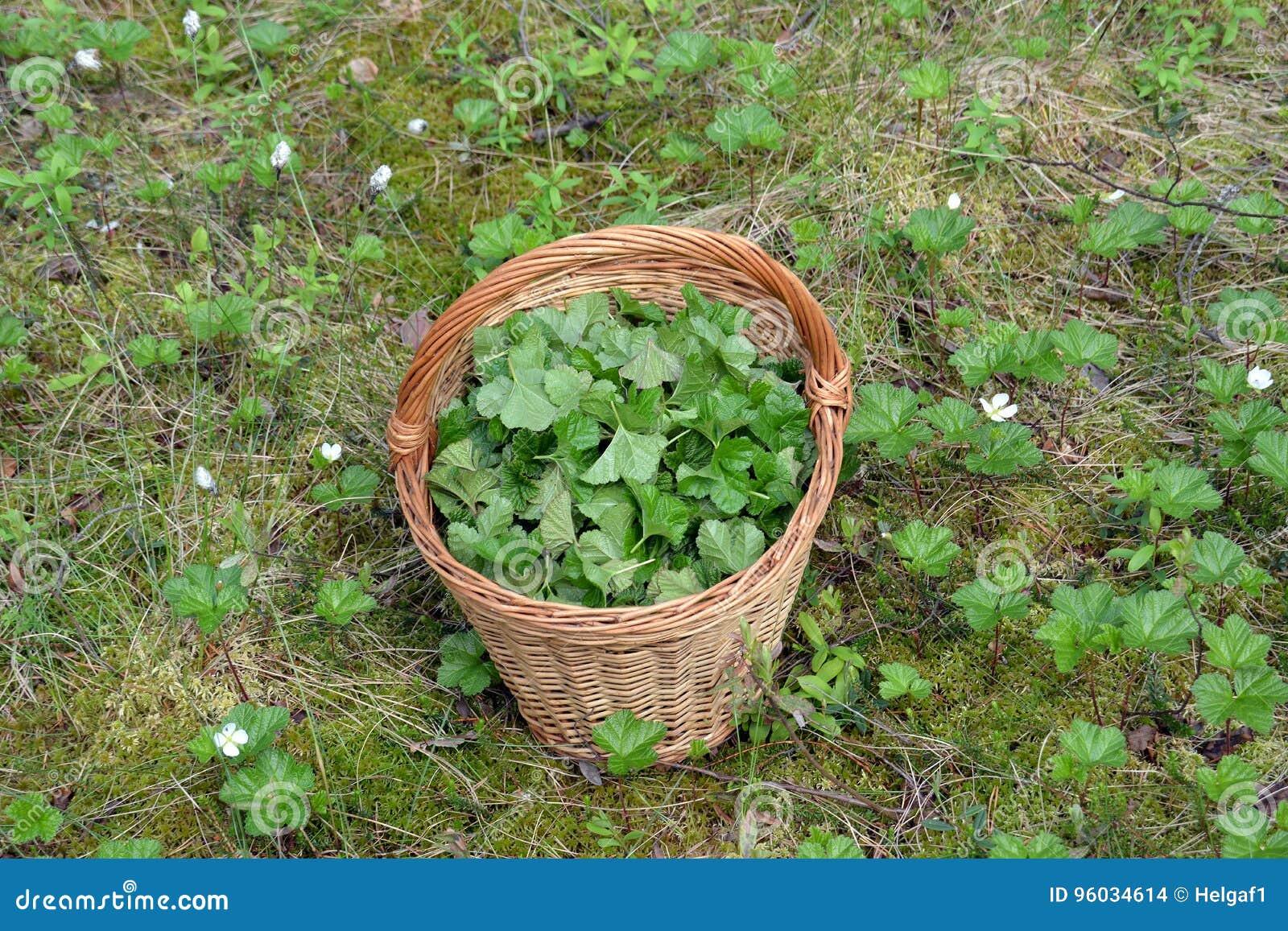 Liście moroszka w koszu w bagnie dla leczniczej ziołowej herbaty