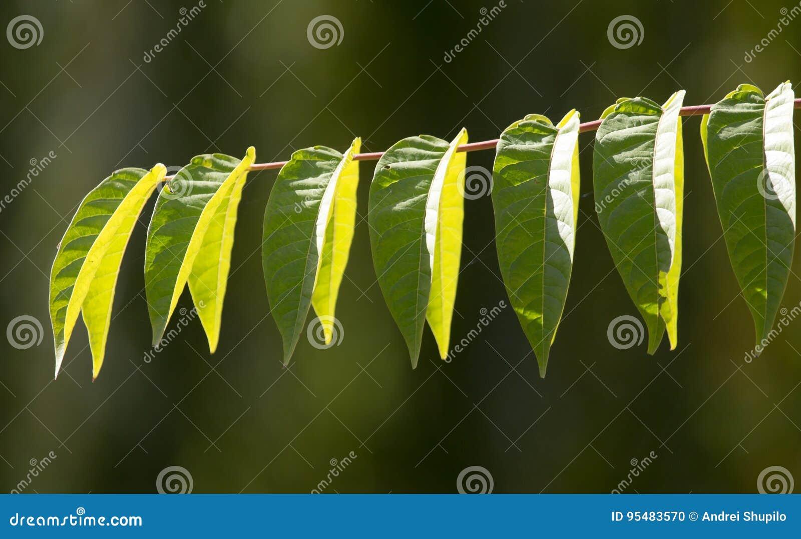 Liście na drzewie w naturze