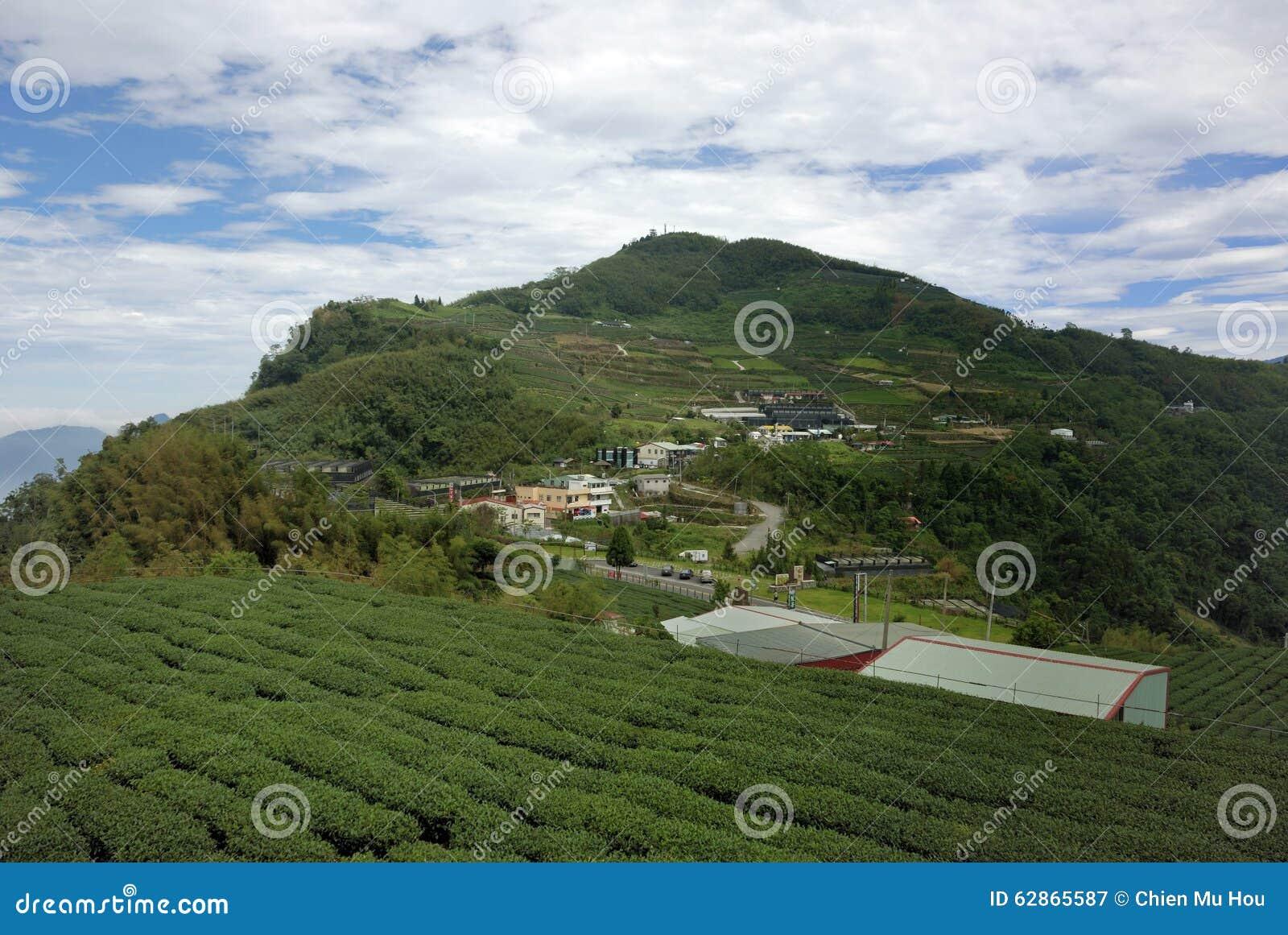 A Li Mountain Oolong Tea Editorial Photography