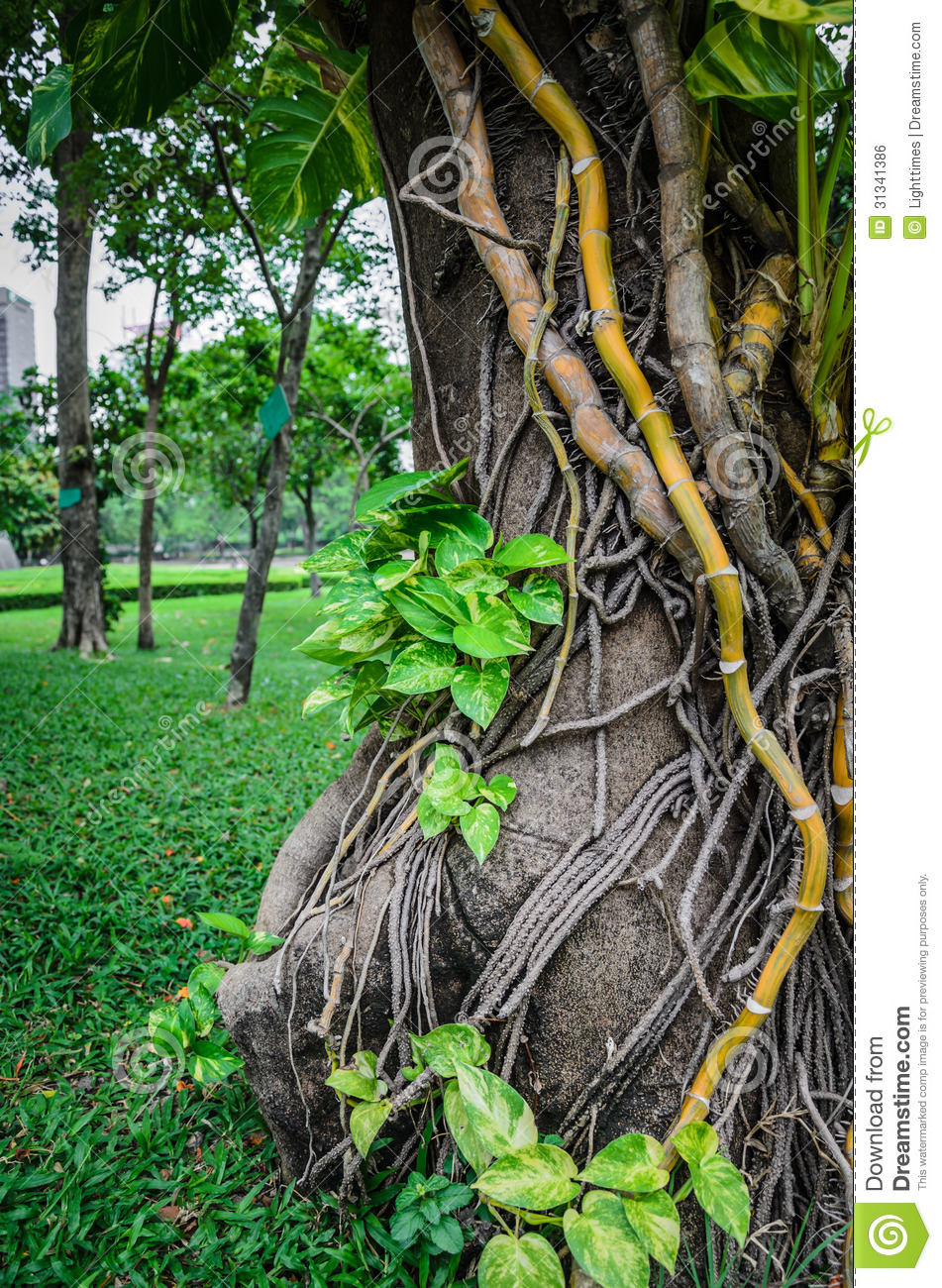 Liana Plant Creeping Royalty Free Stock Image - Image: 31341386
