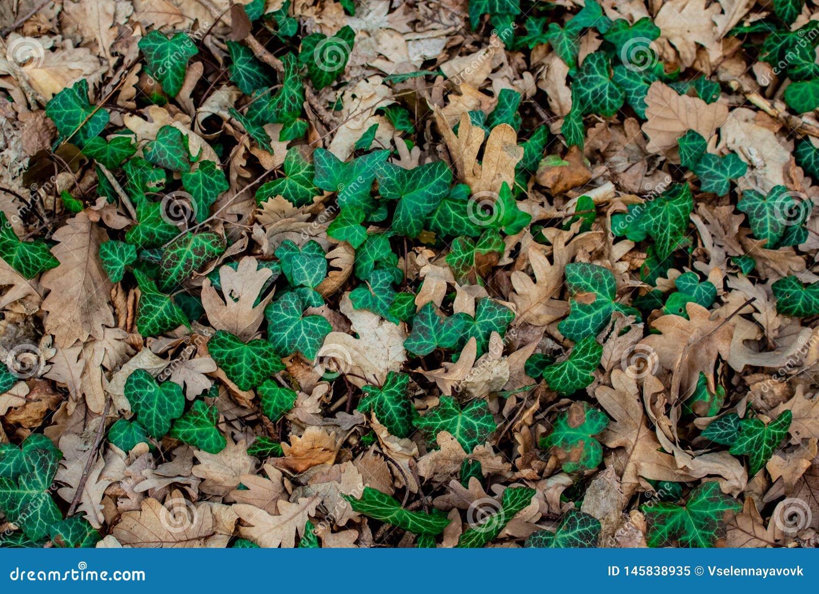 Liana verde de la hoja en hojas secas del roble