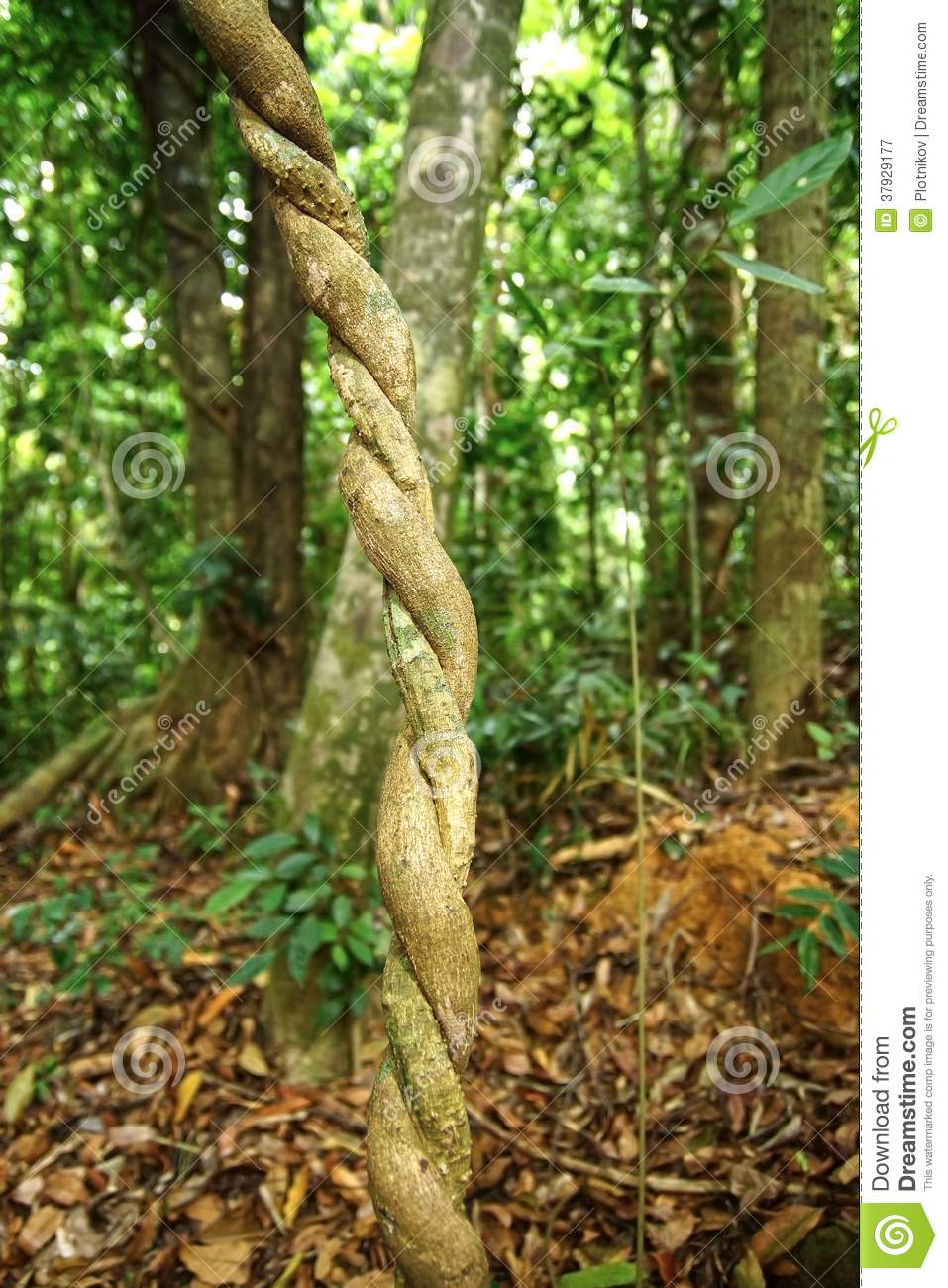 Lianas Winding Through The Rainforest. Royalty Free Stock Photography ...