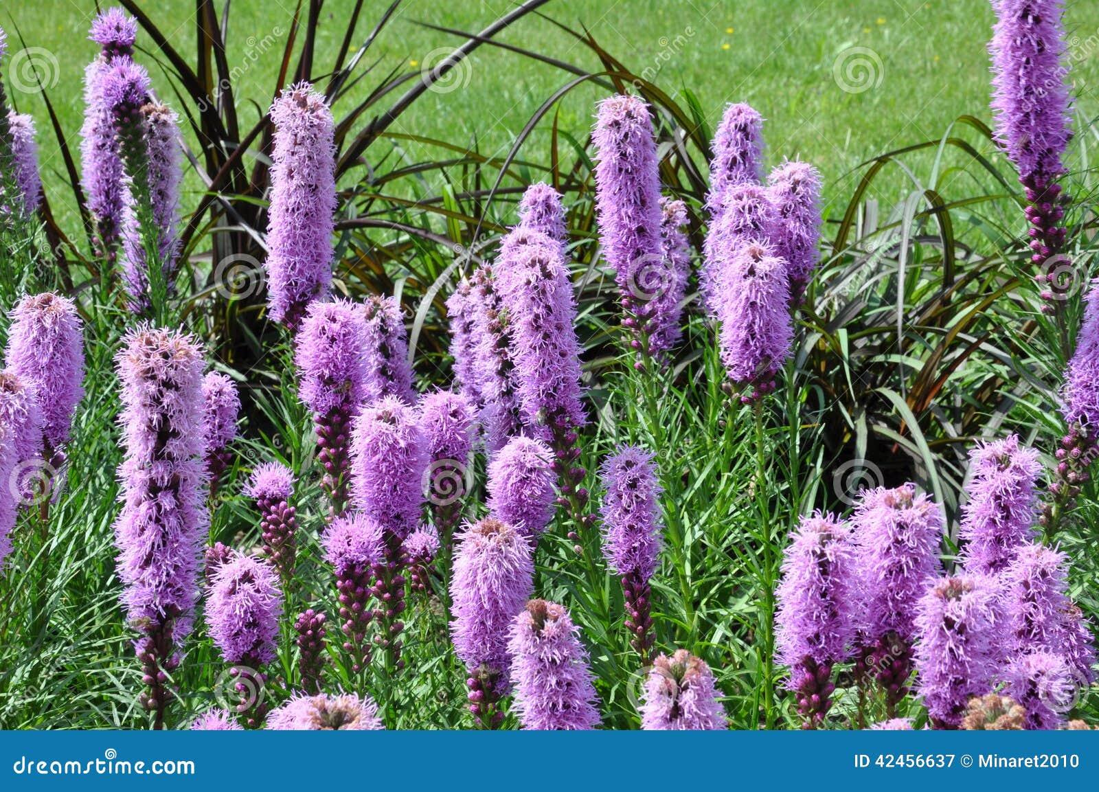 Liatris spicata Blumen