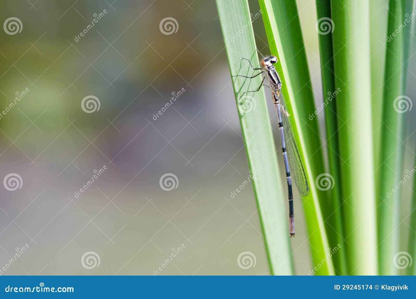 Download Libélula foto de stock. Imagem de pés, mosca, folha, closeup - 29245174