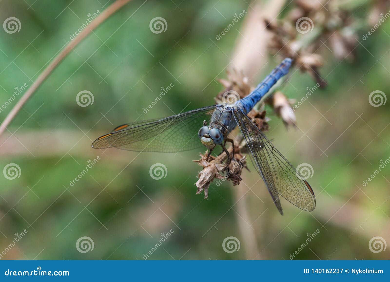 Libélula azul que adere-se à extremidade de um ramo secado