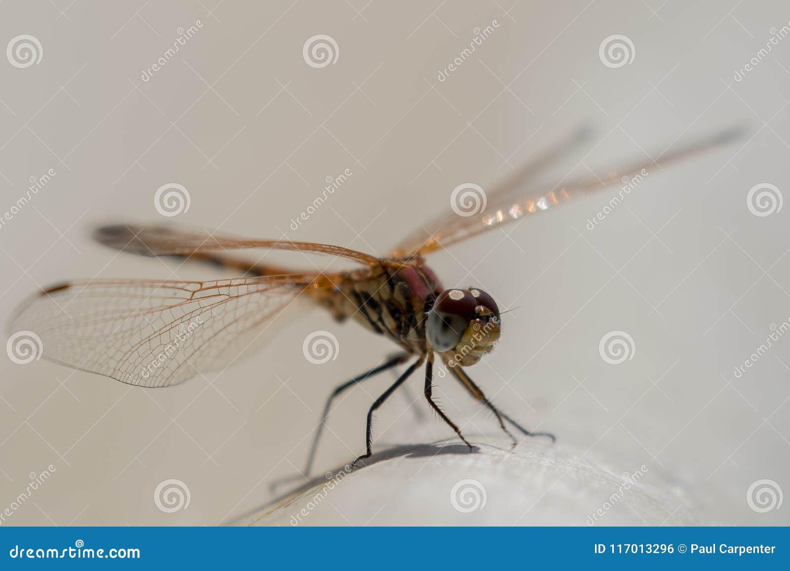 A libélula mediterrânea empoleirou-se e descansar dentro de um jardim em Chipre pode dentro