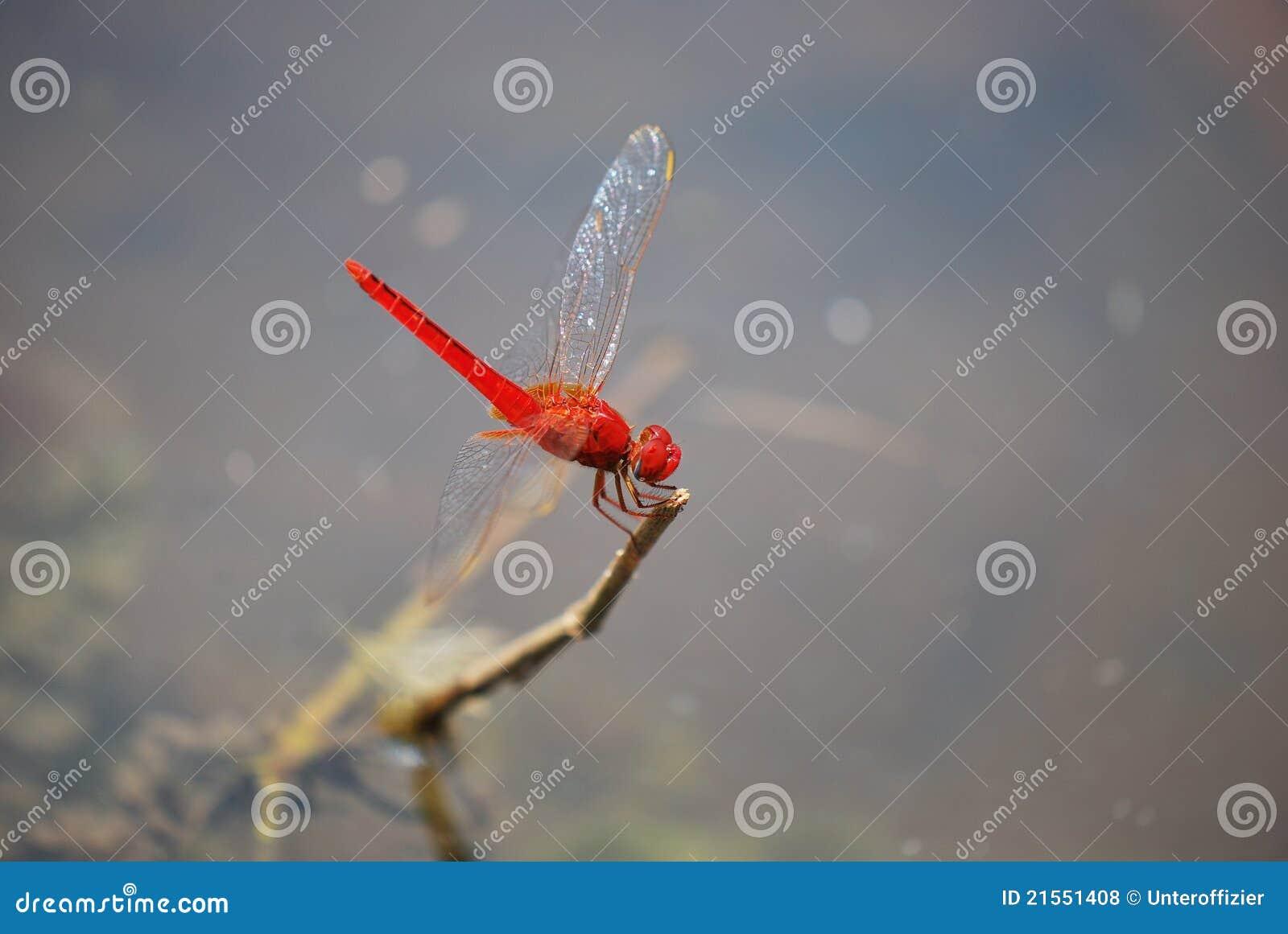 Libélula vermelha