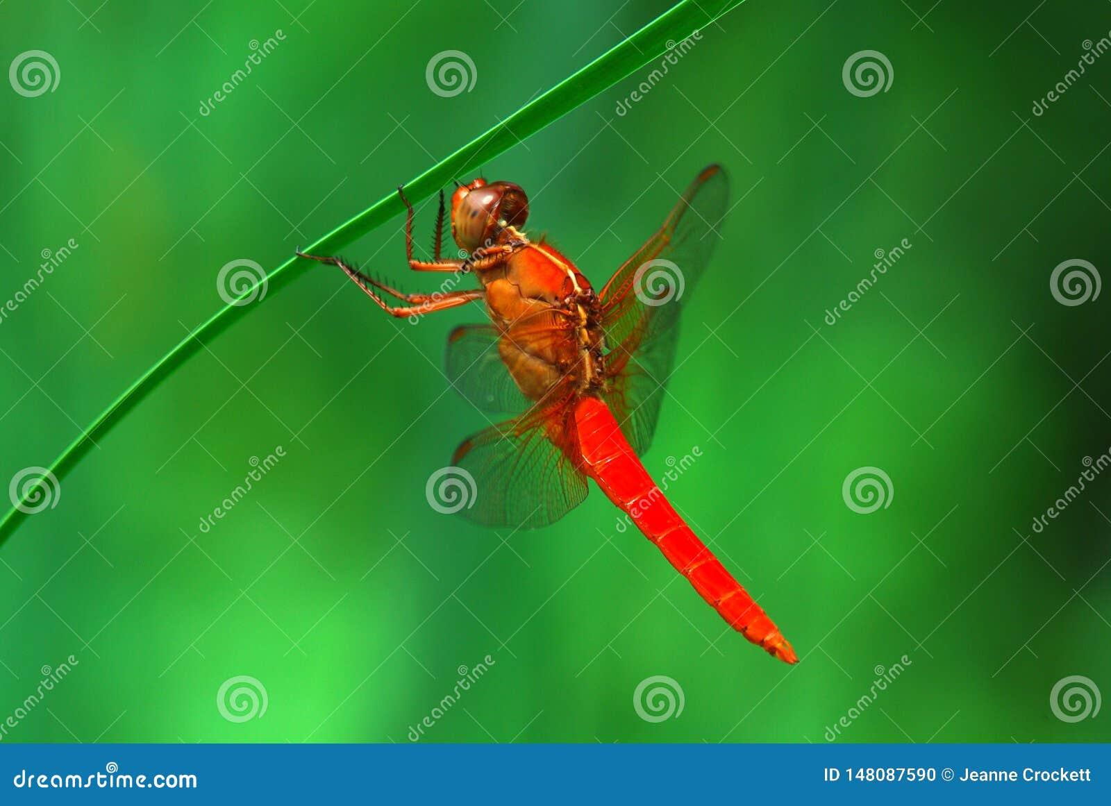 Libélula vermelha que pendura de um junco