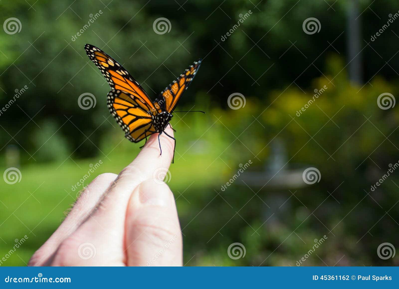 Libération de papillon de monarque