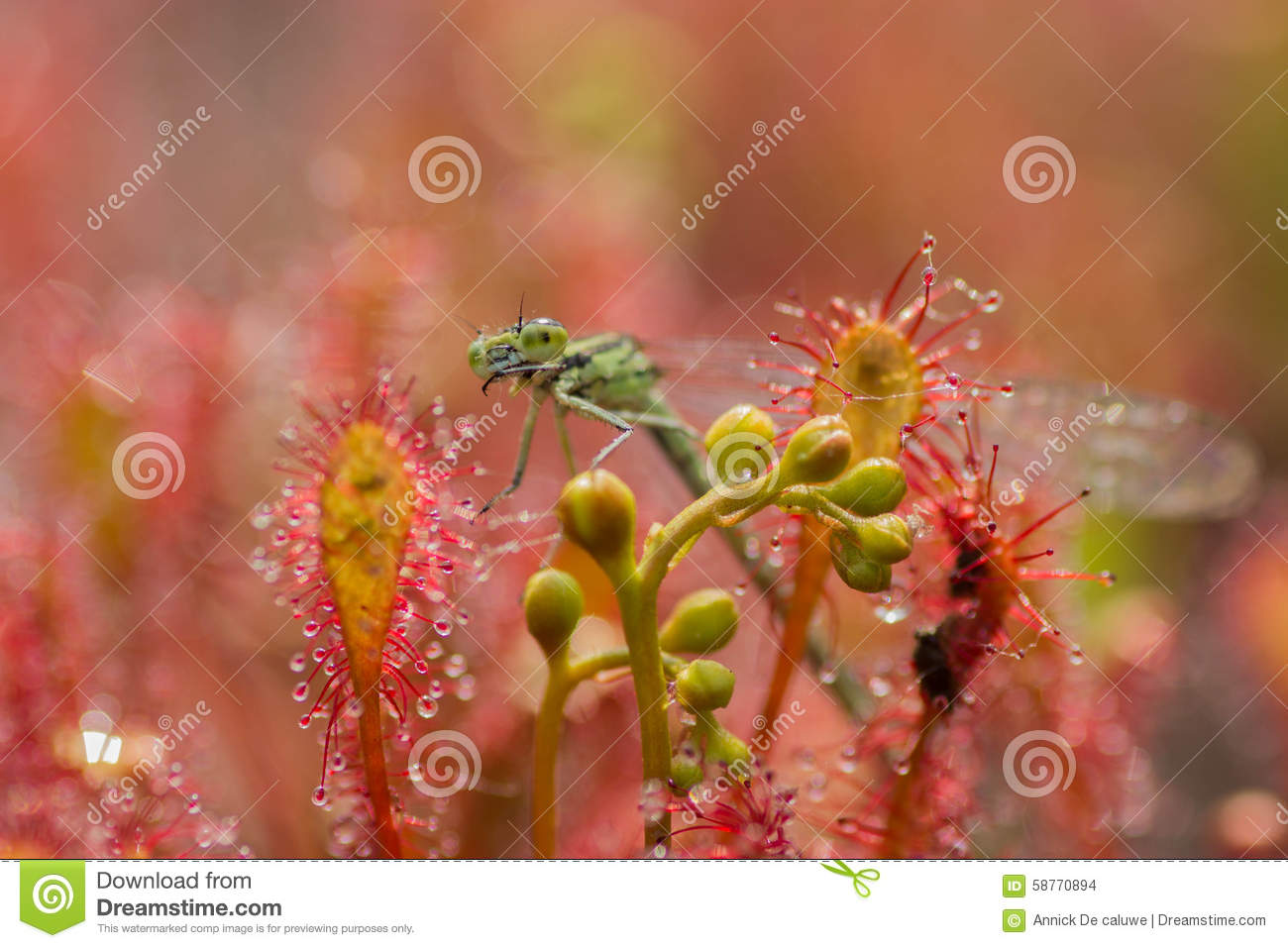 Libel in Drosera-intermedia