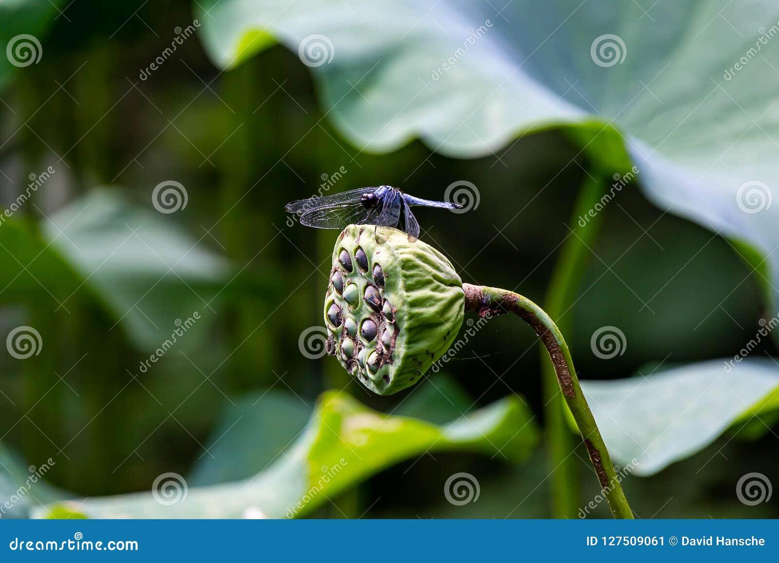 Libel op een lotusbloempeul