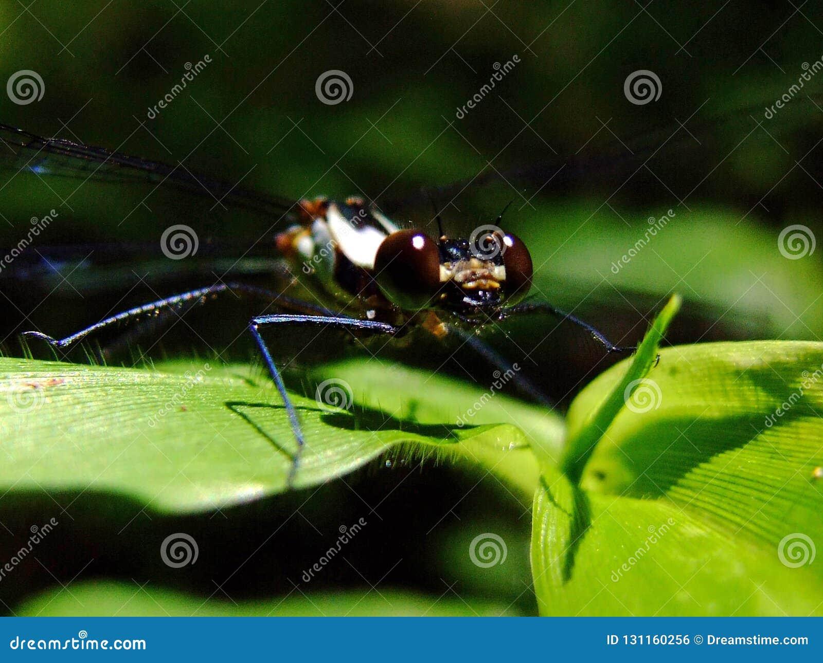 Libelle über Blatt