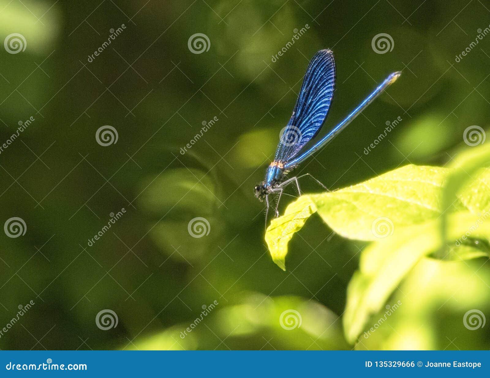 Libelle, die in der Sonne auf Blättern nahe den Pools übersehen Kravica-Wasserfall sich aalt