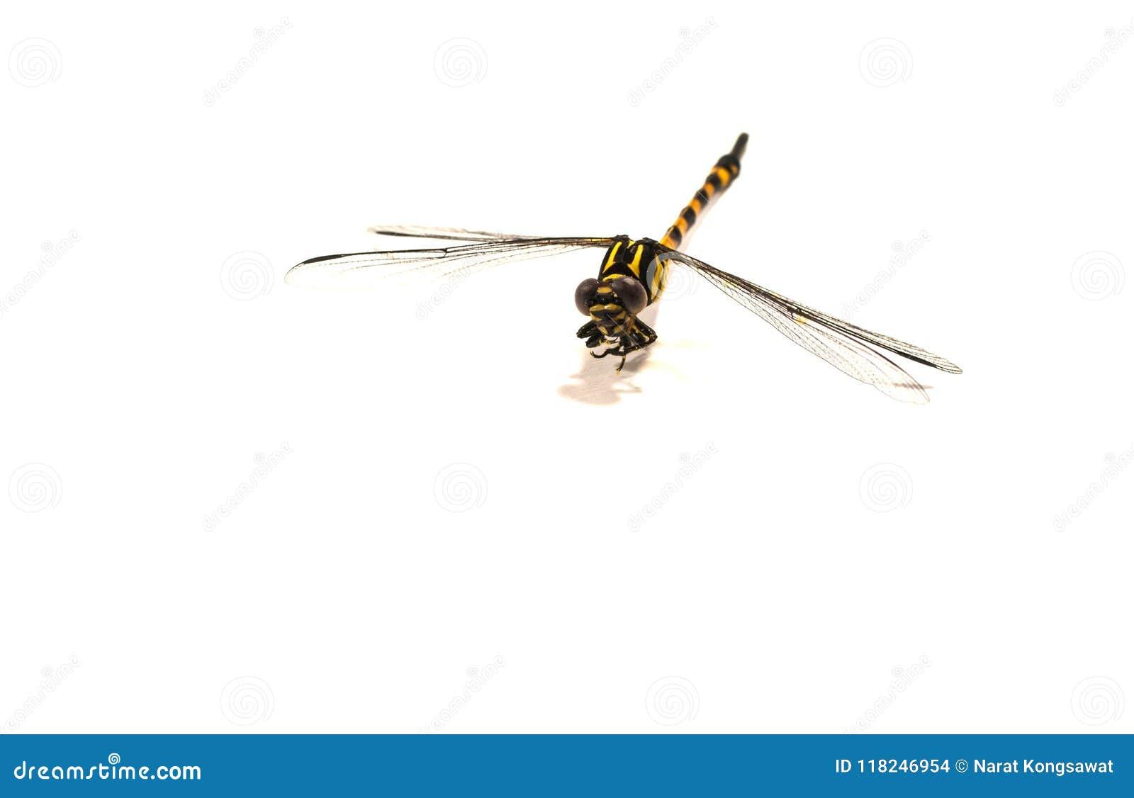 Libelle, weißer Hintergrund