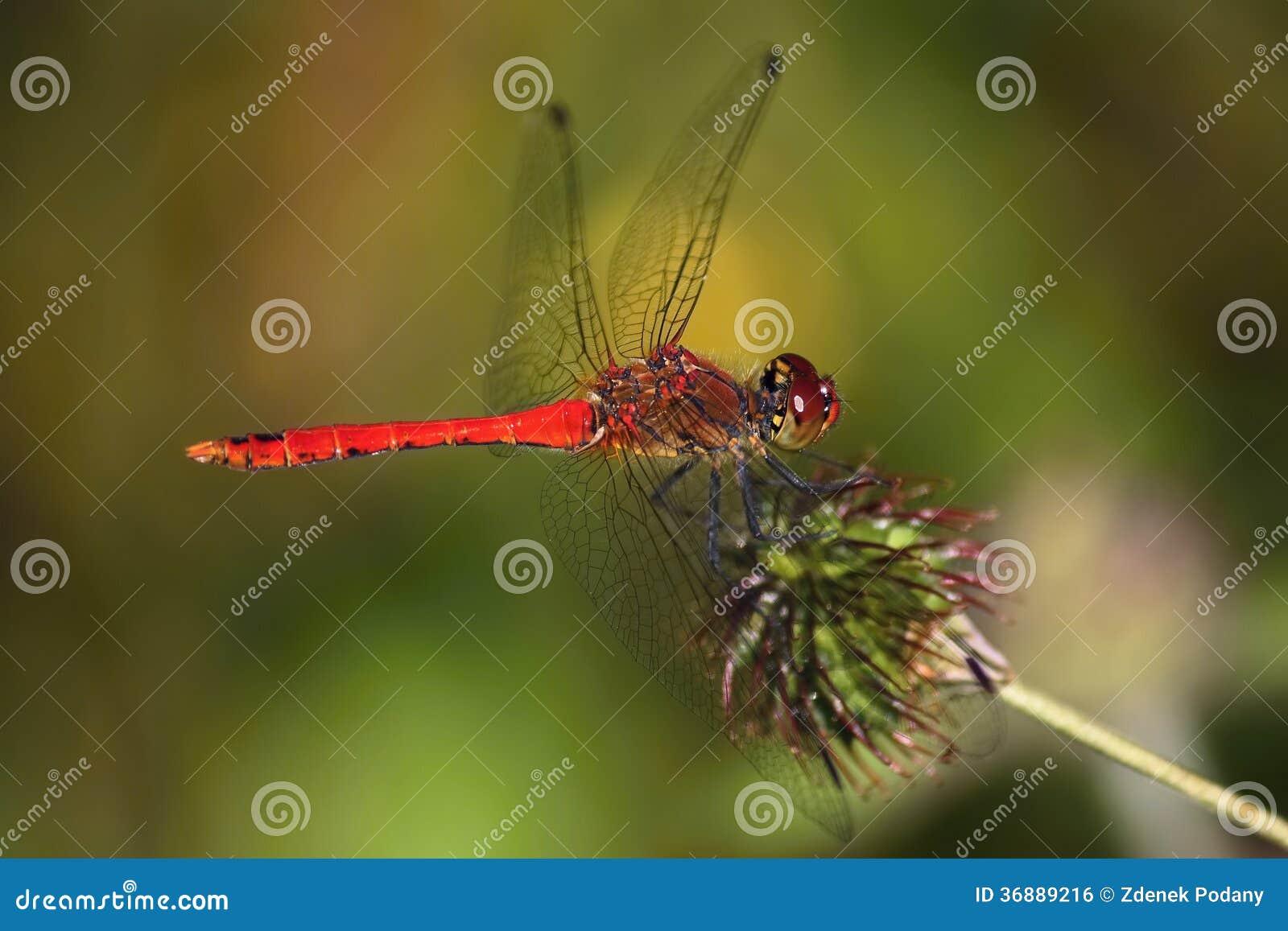 Download Libellula fotografia stock. Immagine di erba, botanico - 36889216