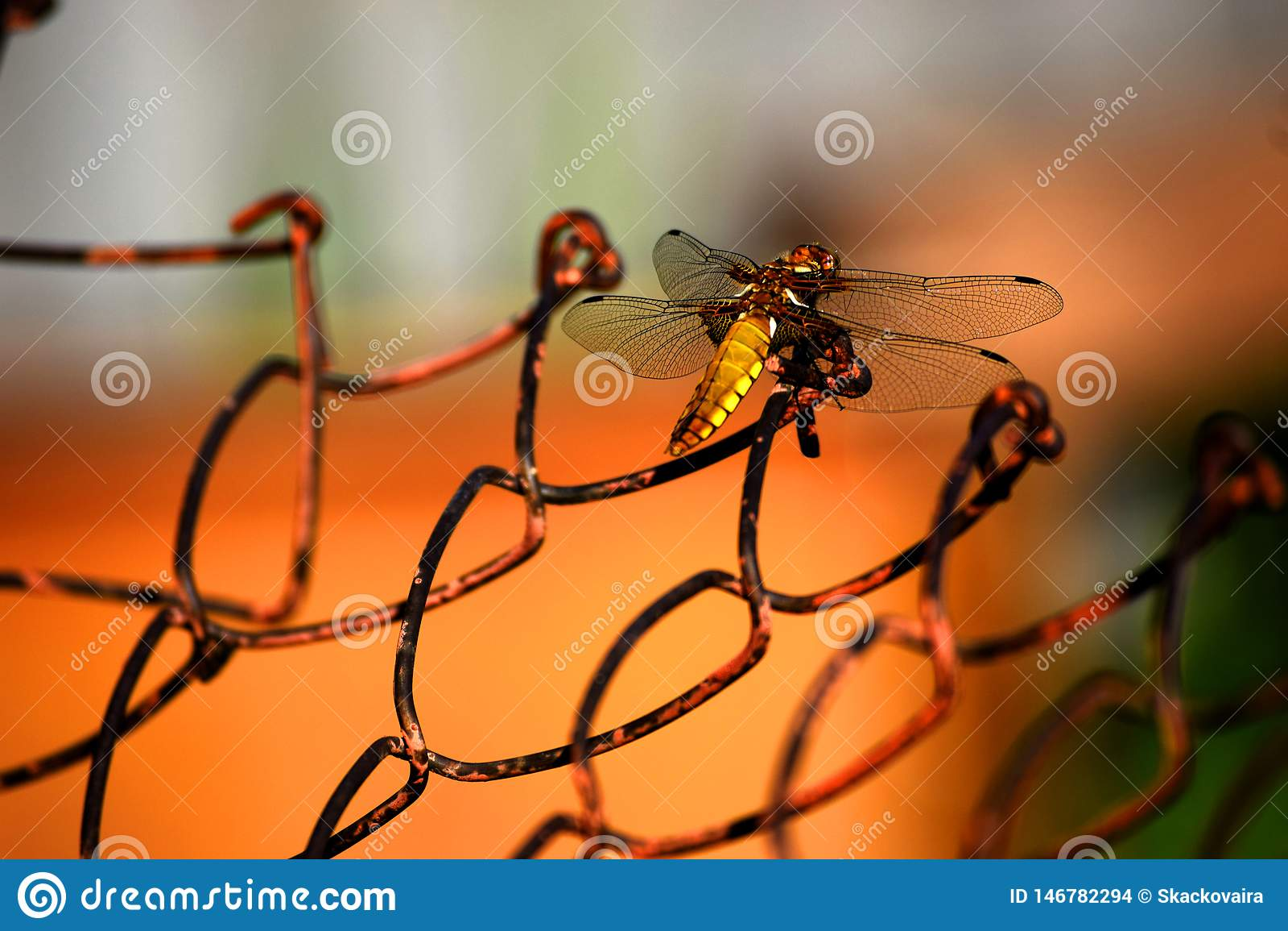 Libellula dorata sulla griglia del ferro