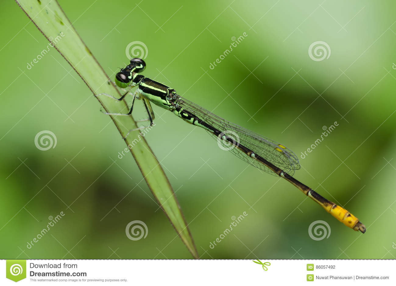Libellule, libellules des minimum de la Thaïlande Agriocnemis
