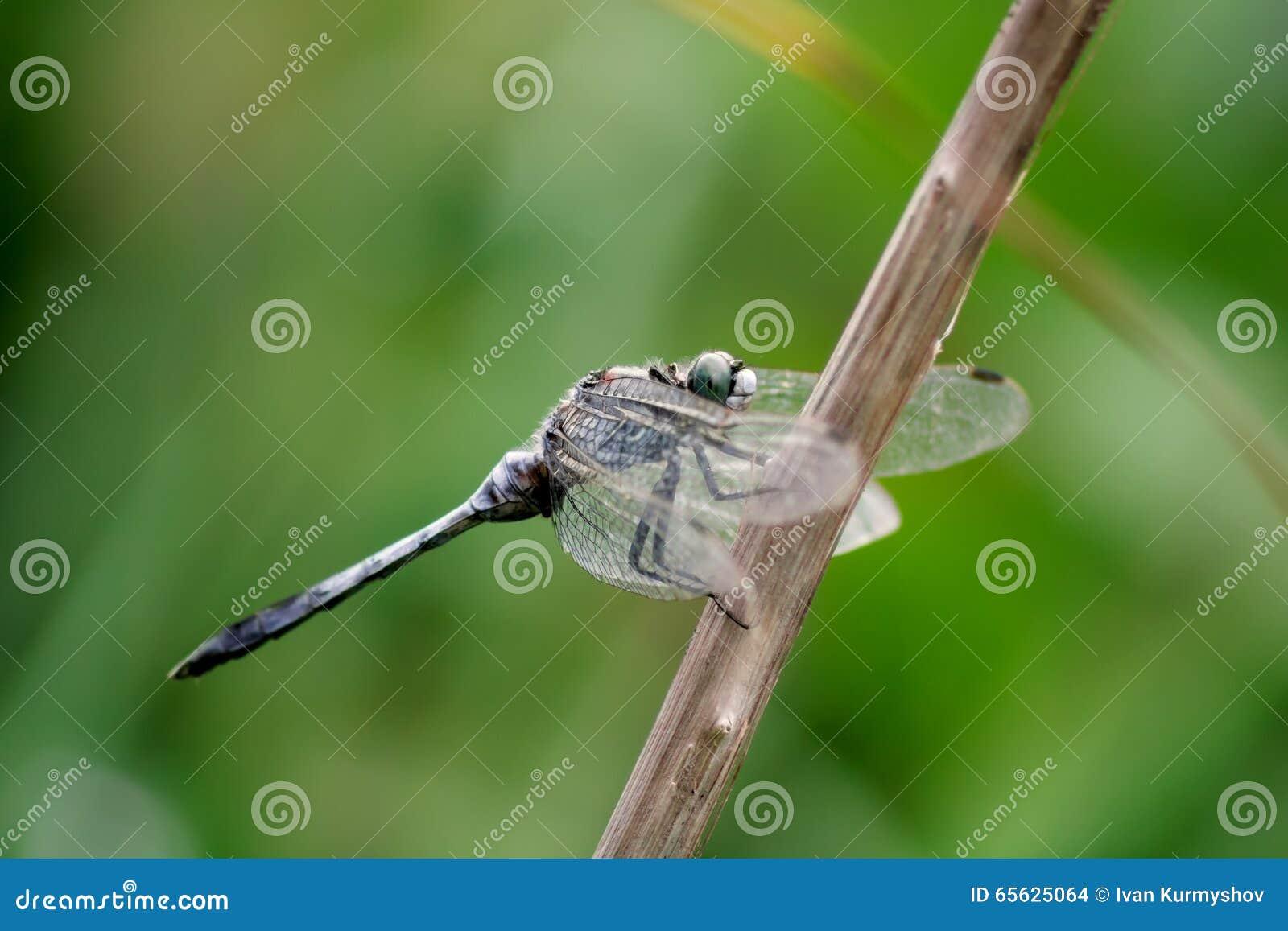 Libellule se reposant sur la branche avec les ailes dégonflées