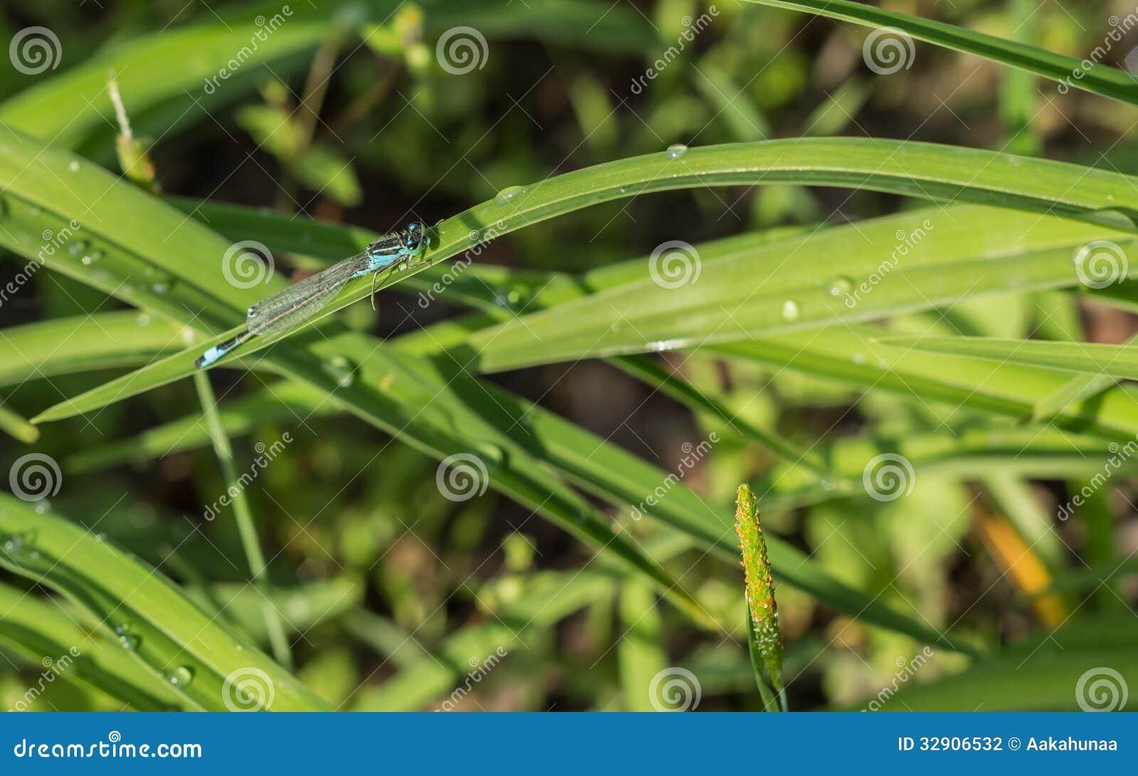 Libellules (damselflies)