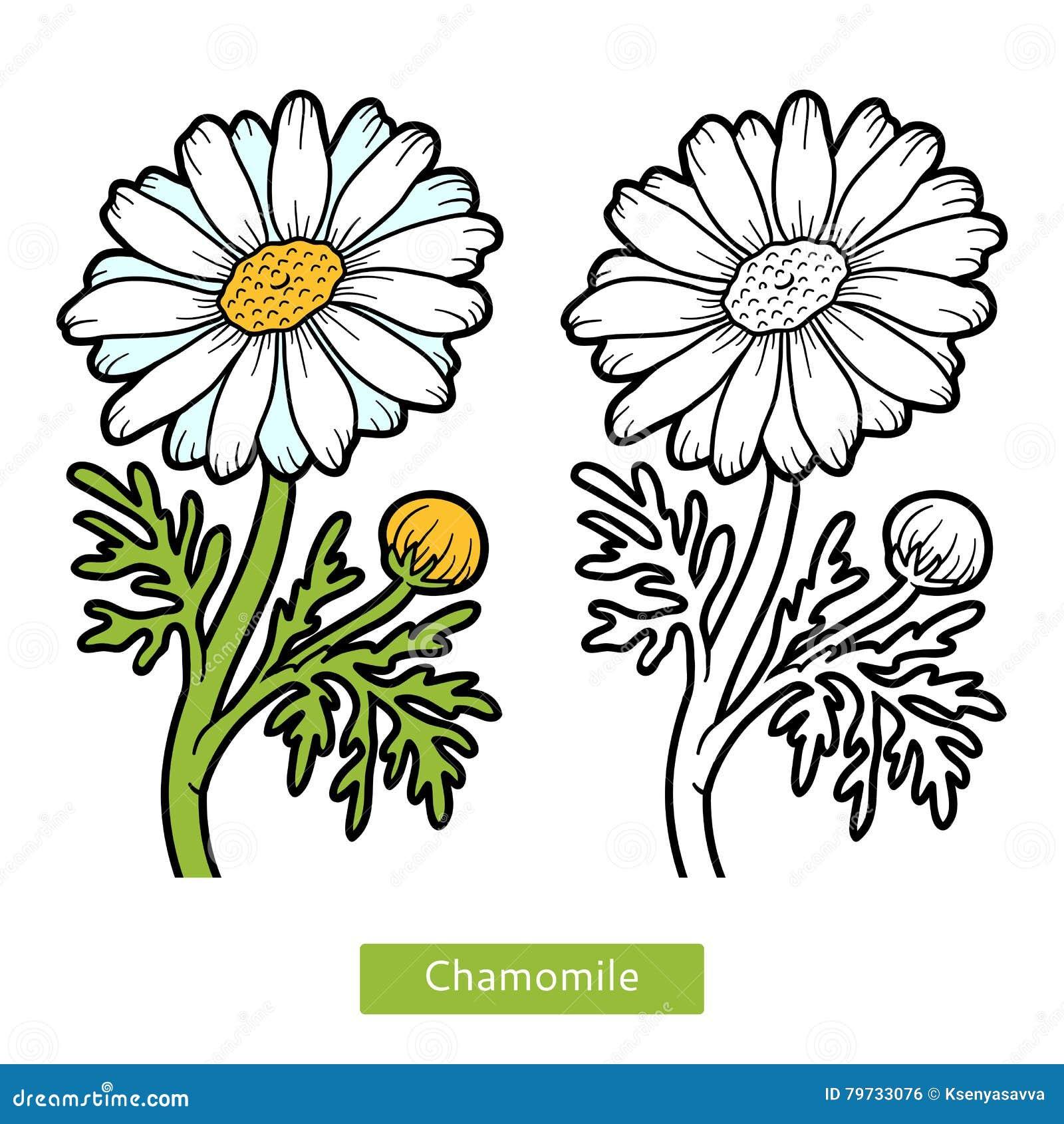 Libro de colorear, manzanilla de la flor