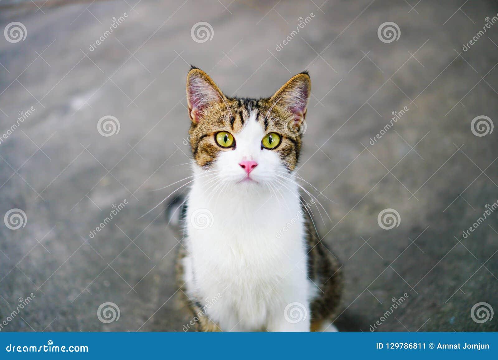 Lichaam van katten het Thaise, Thaise oog-Gele Cat White met tijger