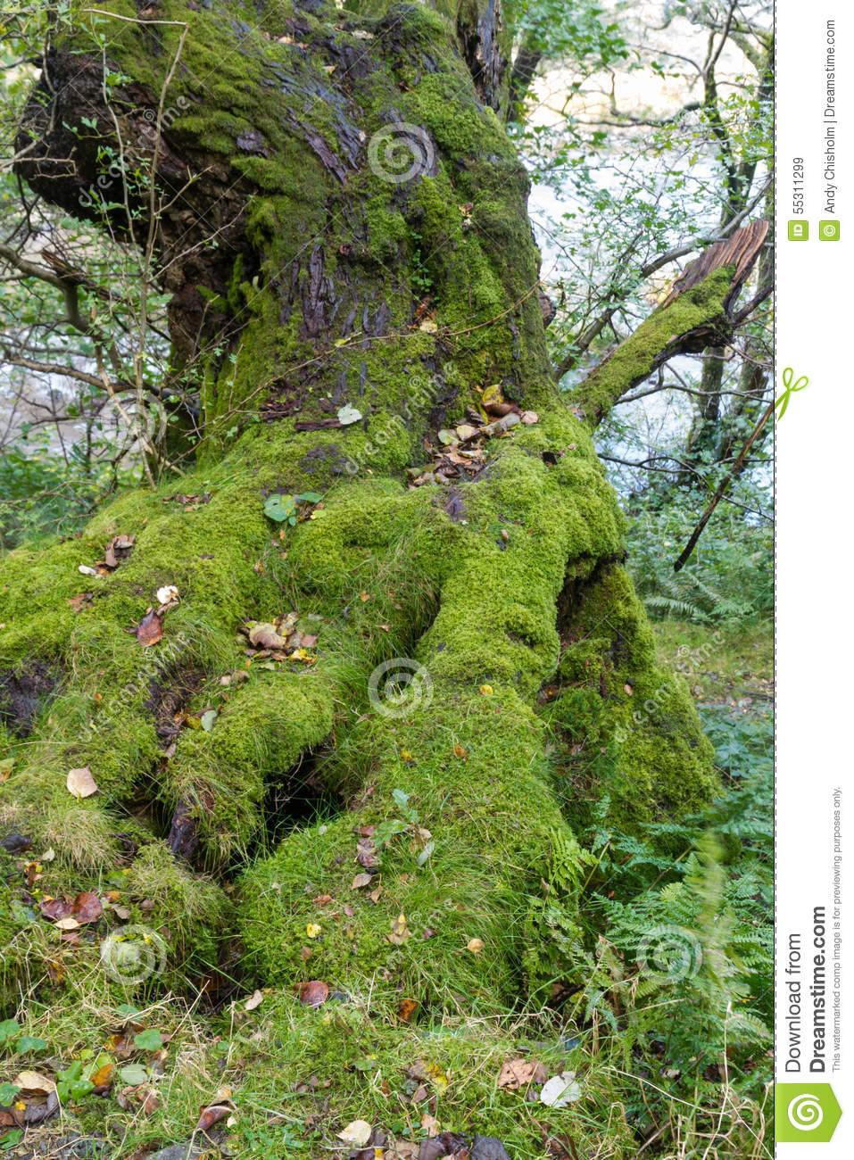 Lichen Moss On Old Tree Stock Photo Image 55311299