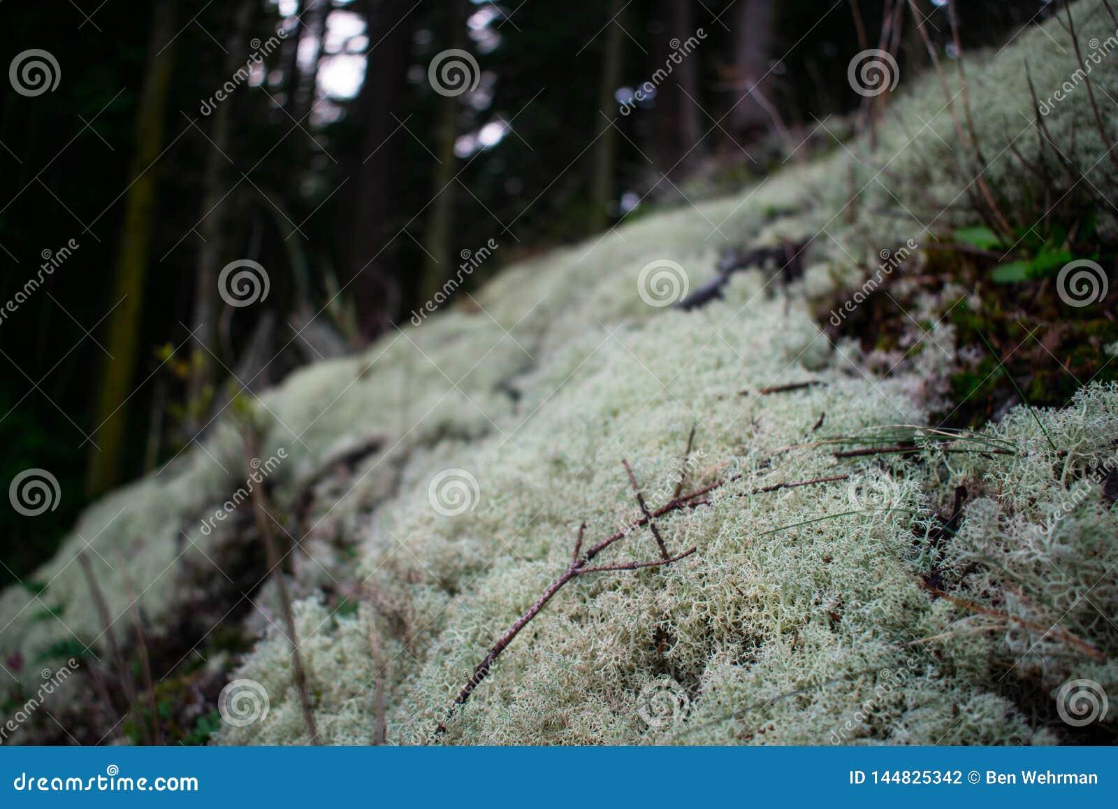 Lichen Patch im moosigen Wald