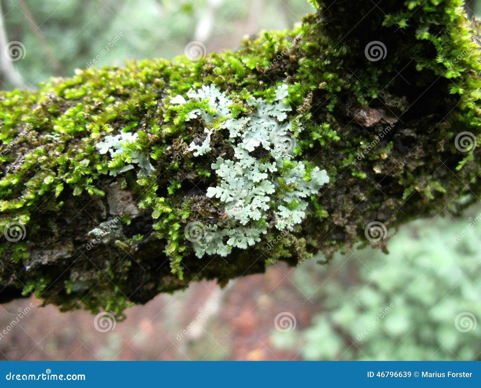 Lichen vert gris sur la branche d 39 arbre avec de la mousse for De l arbre au meuble