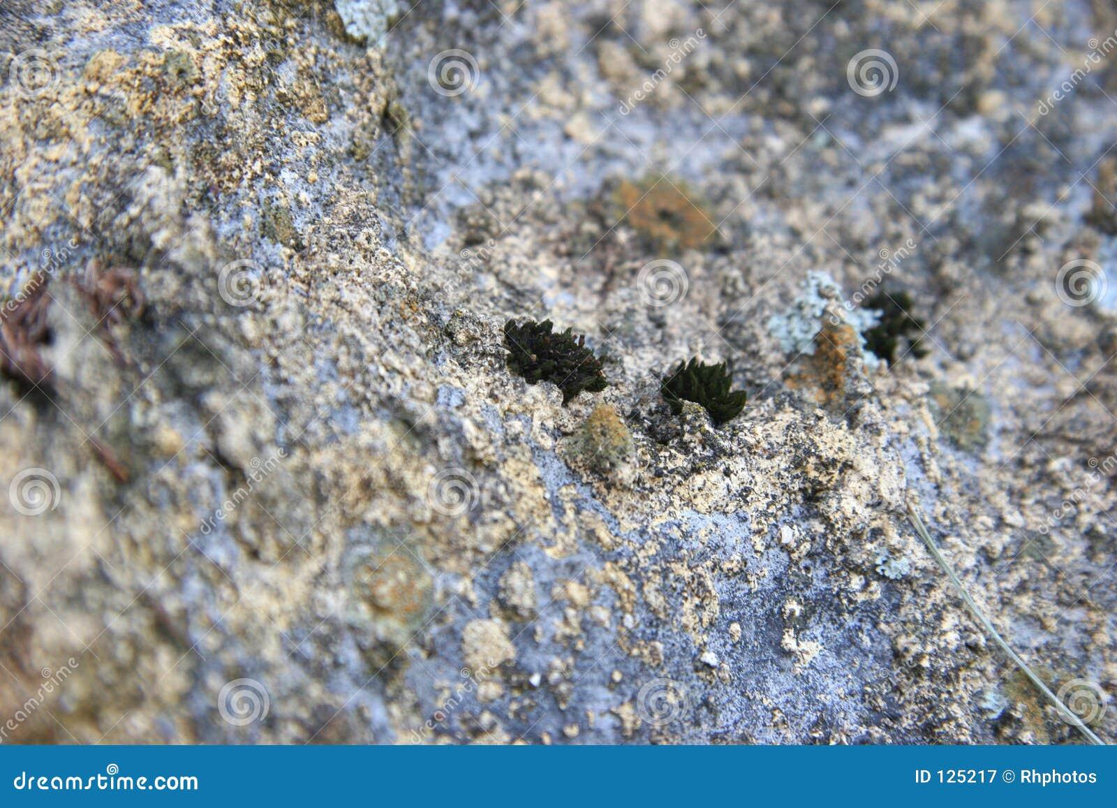 Licheni della roccia