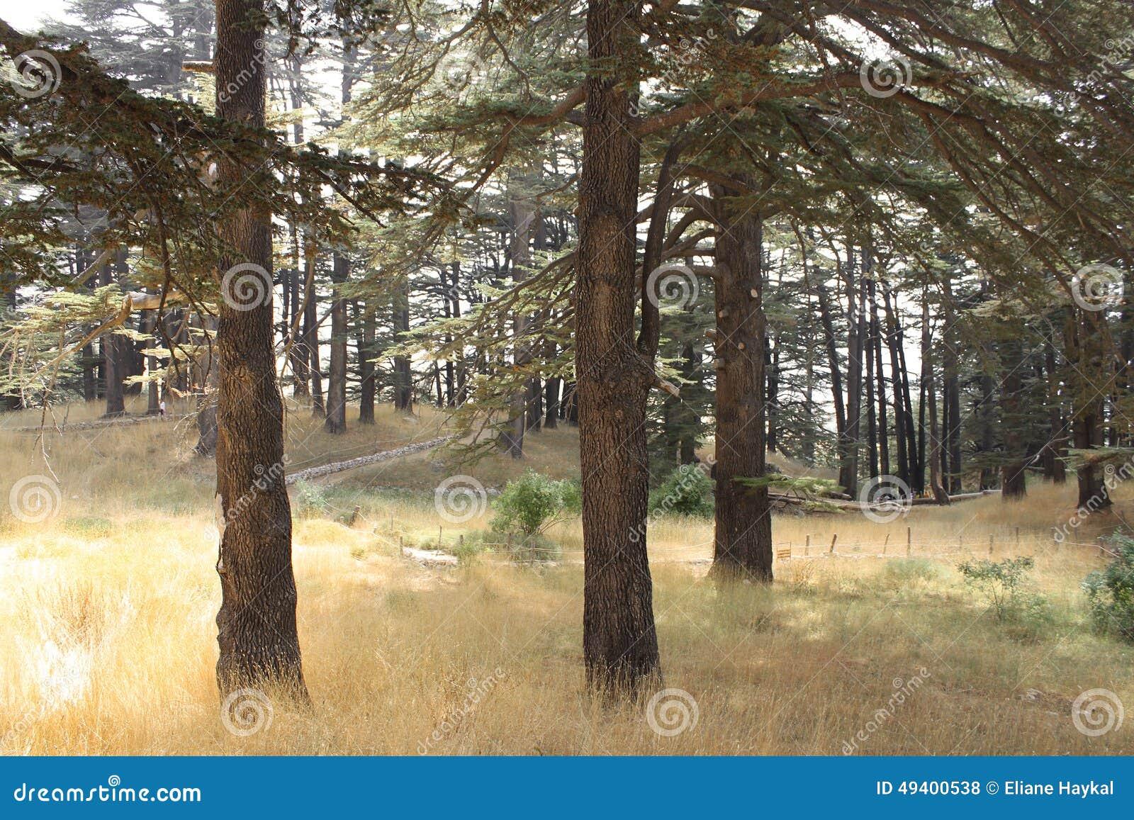 Download Licht im Zedern-Wald stockfoto. Bild von tageslicht, sommer - 49400538