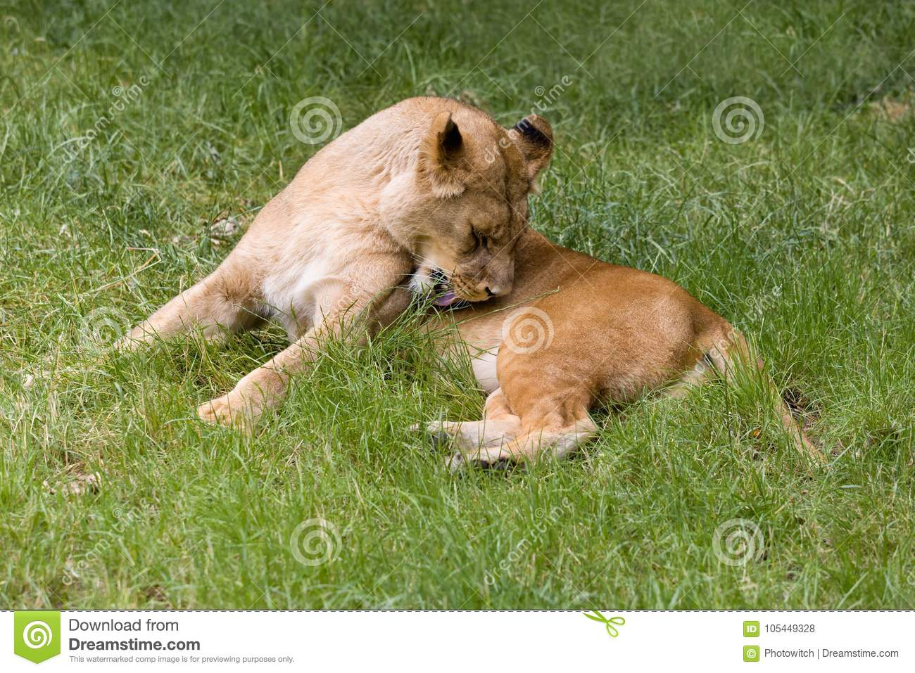 Licking African lioness in grass
