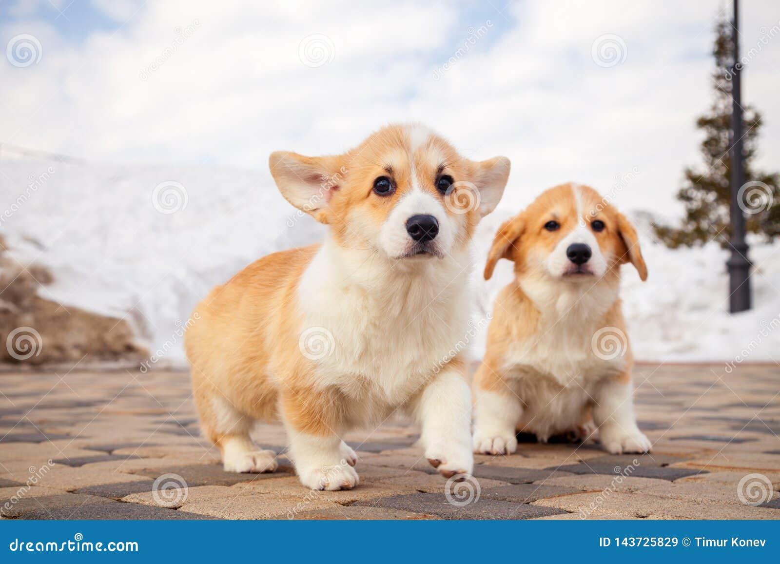 ?liczni czerwoni Welsh corgi pembroke szczeniaki na trawie, chodz? plenerowego, mie? zabaw? w bia?ym ?niegu parku, zima las, bieg