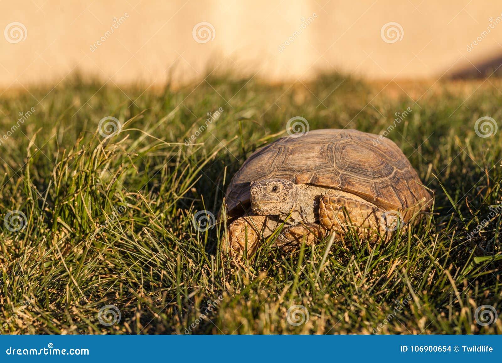 Śliczny Pustynny Tortoise w Arizona