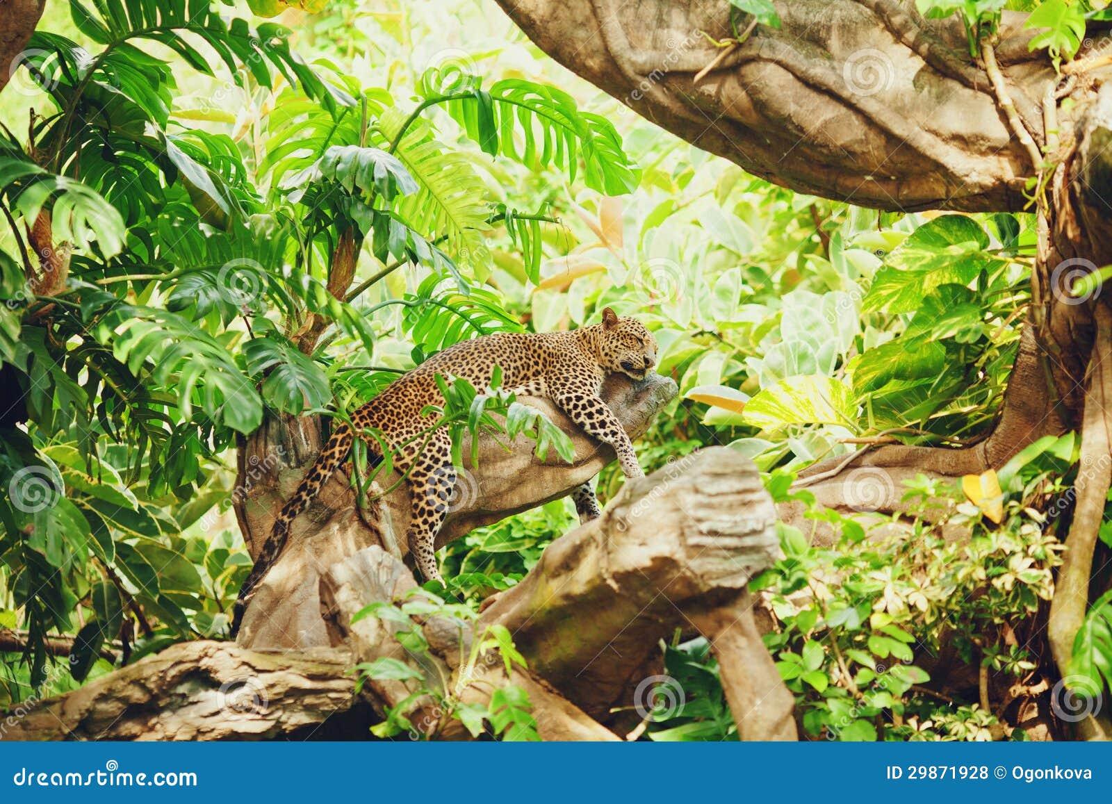 Liegen(schlafender) Leopard auf Baumast