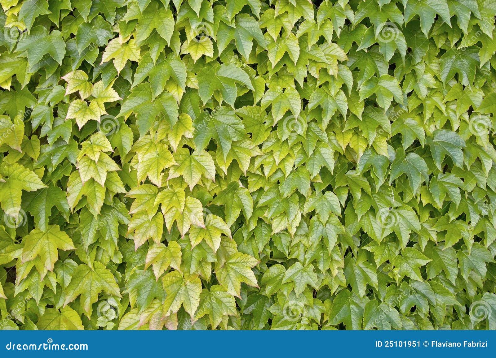 Lierre de boston plante grimpante japonaise image stock for Plante japonaise