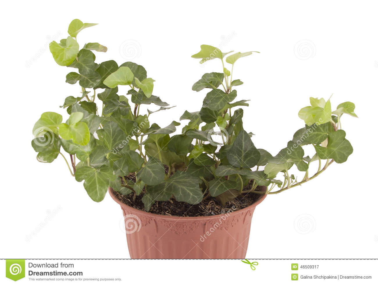 Lierre de plante d 39 int rieur photo stock image 46509317 - Moucherons plante d interieur ...