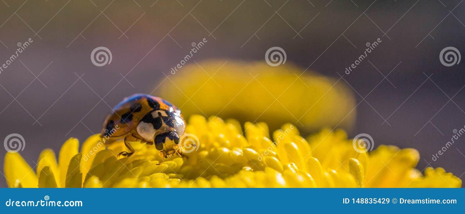 Lieveheersbeestje die op een gele chrysant rusten