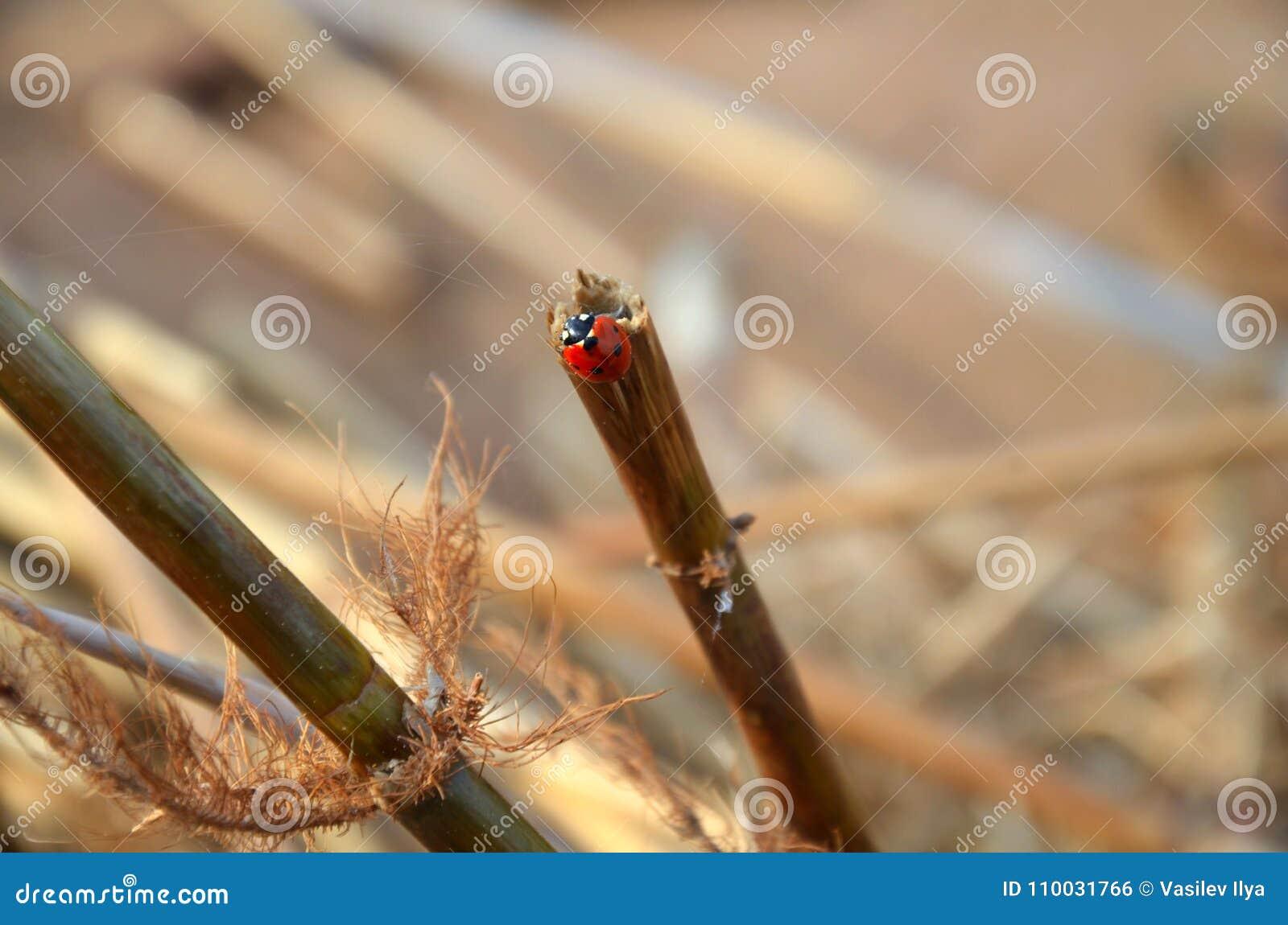 Lieveheersbeestje op een droge steel van het riet