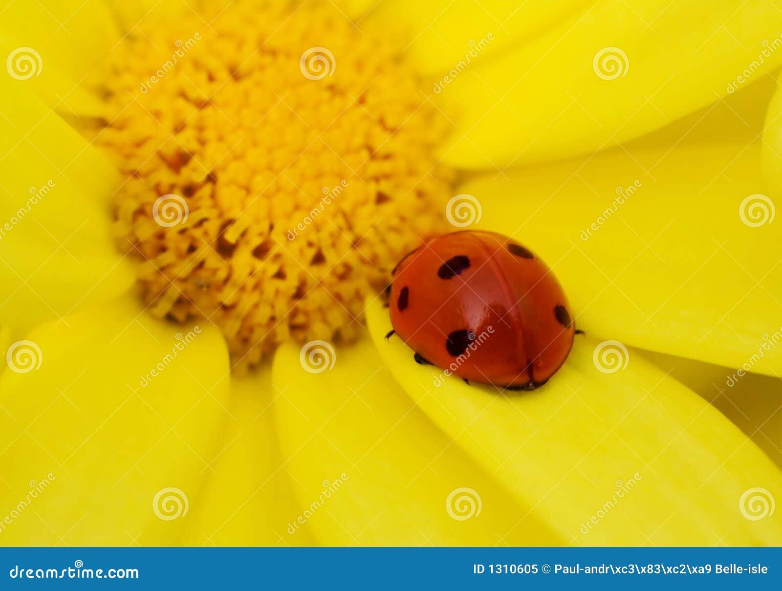 Lieveheersbeestje op gele bloem